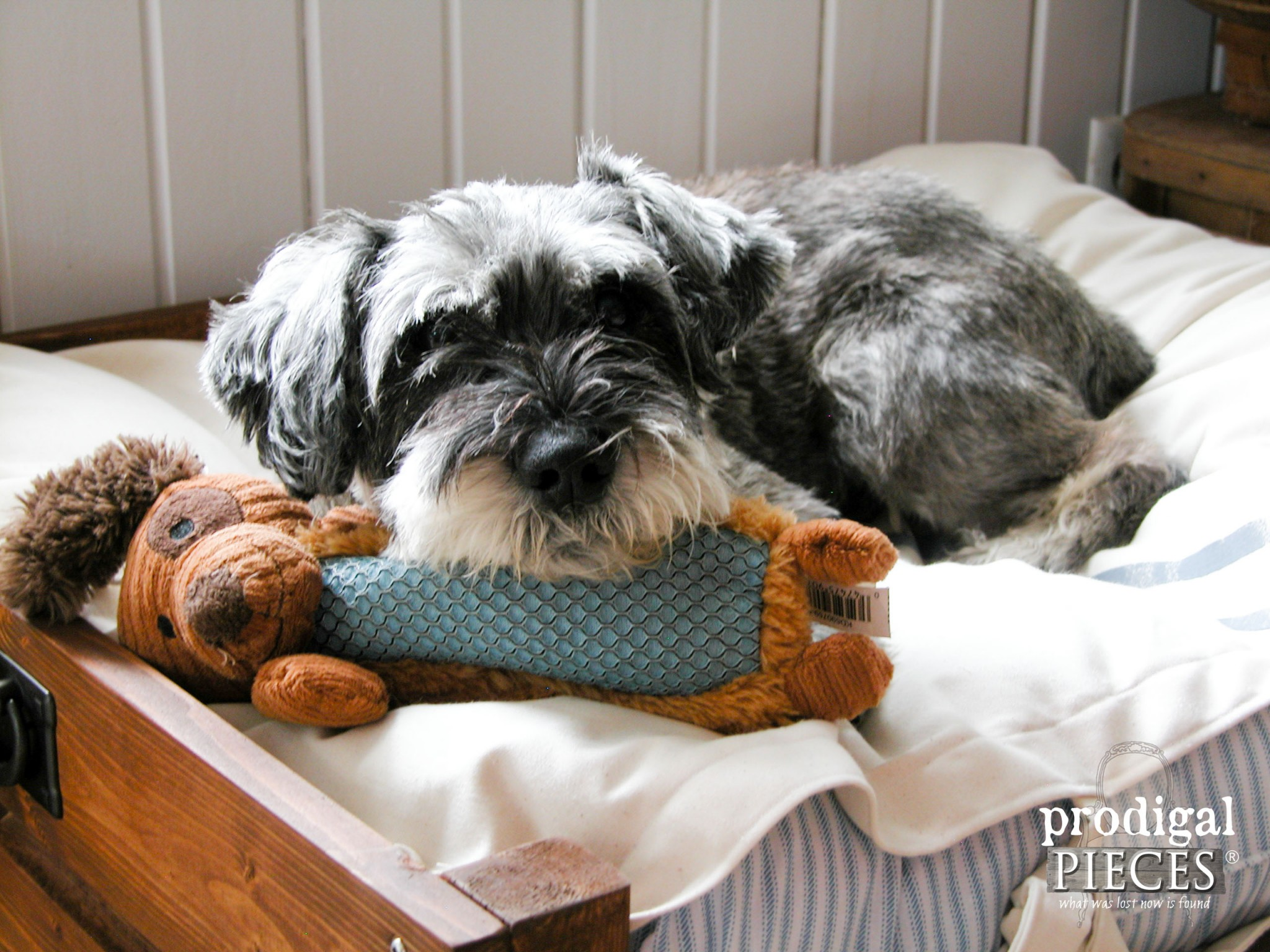 Miniature Schnauzer Curls up with Toy in DIY Pet Bed ~ Includes Plans & Tutorial by Prodigal Pieces | www.prodigalpieces.com