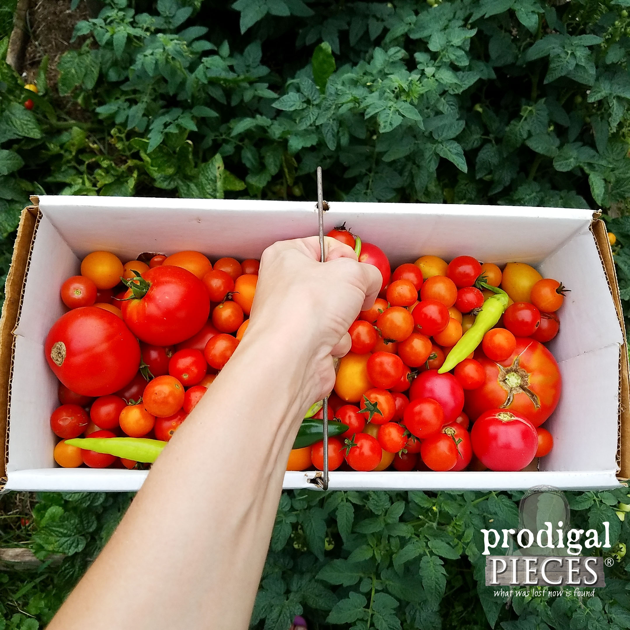 Fresh Garden Tomatoes for Fermented Salsa by Prodigal Pieces | prodigalpieces.com