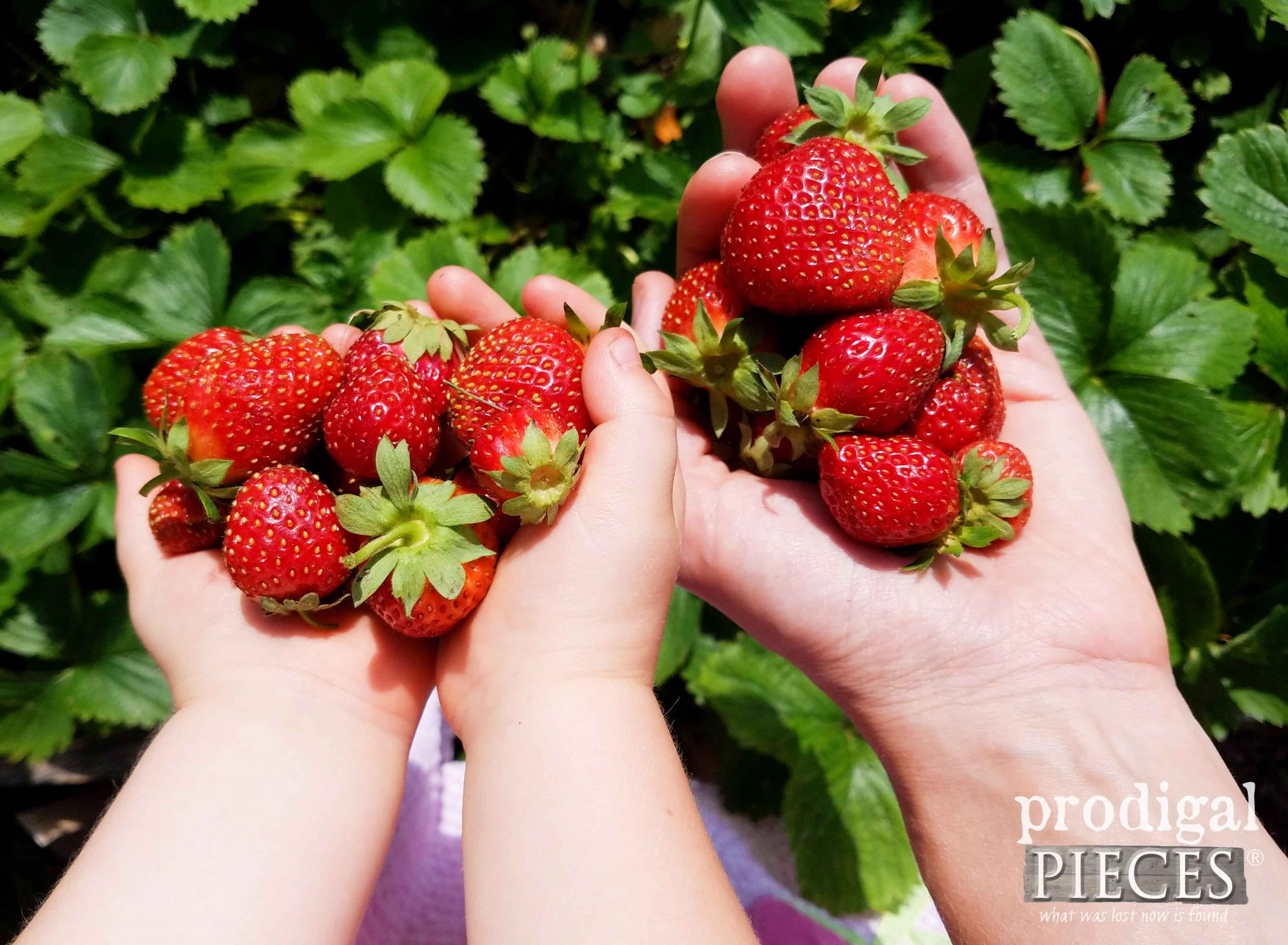 Homegrown Organic Strawberries in our Mow Less Grow More Front Yard Garden by Prodigal Pieces | prodigalpieces.com