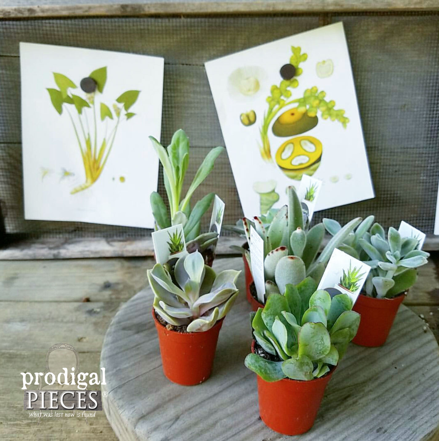 Assortment of Miniature Succulents for Repurposed Planter by Prodigal Pieces | www.prodigalpieces.com