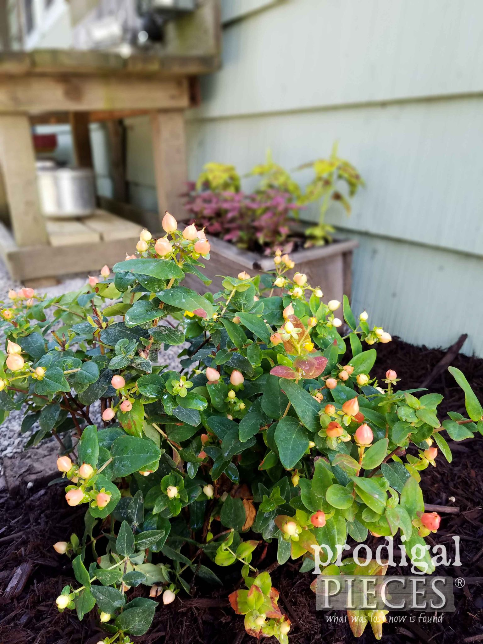 Gorgeous Pumpkin Hypericum Bush with Yellow Flower in Spring and Pumpkin-colored berries in autumn by Prodigal Pieces | prodigalpieces.com