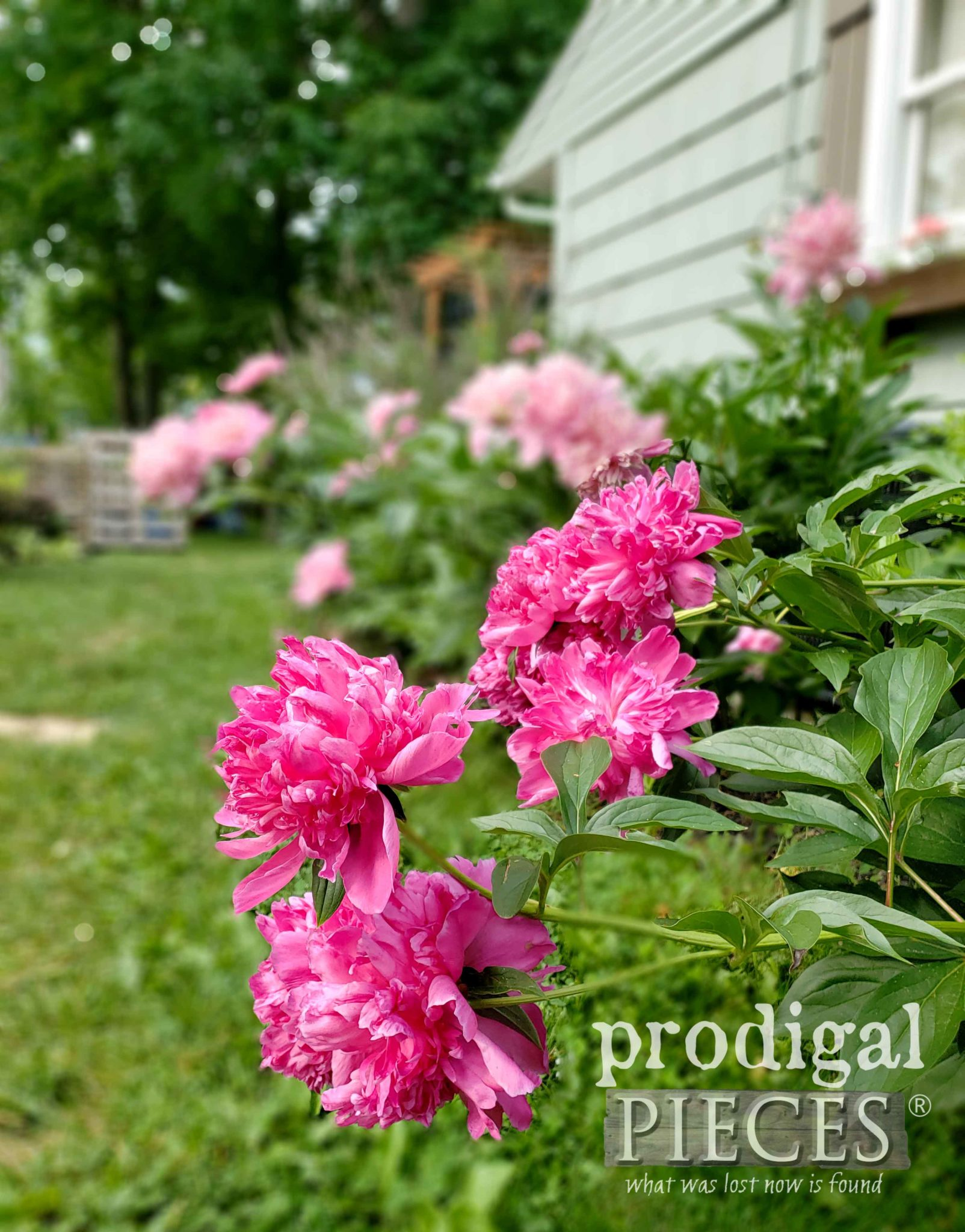Beautiful Dark Pink Peony Bush with delicious fragrance by Larissa of Prodigal Pieces | prodigalpieces.com