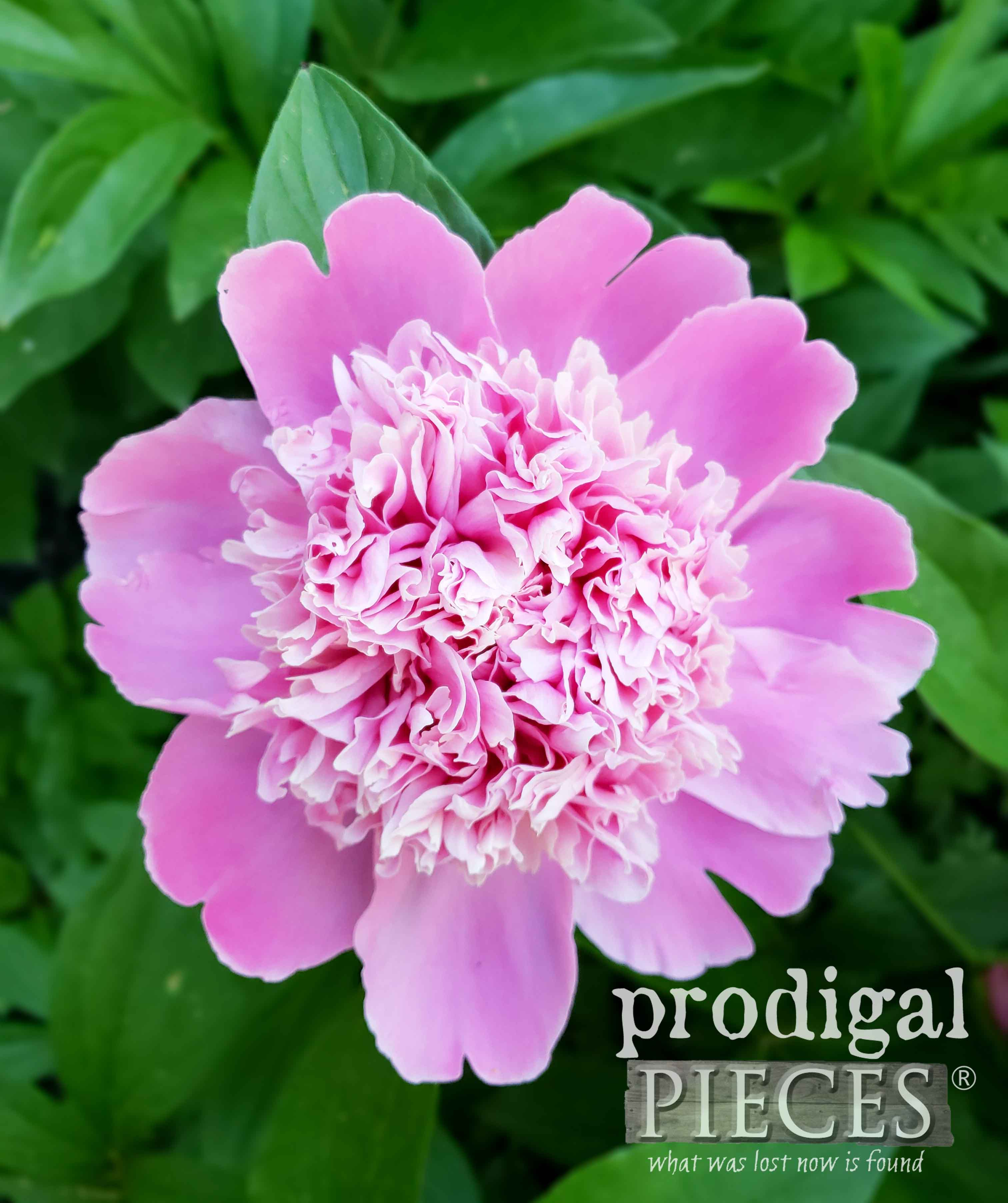 Stunning Light Pink Peony with Fluffy Bloom and Wonderful Scent by Larissa of Prodigal Pieces | prodigalpieces.com