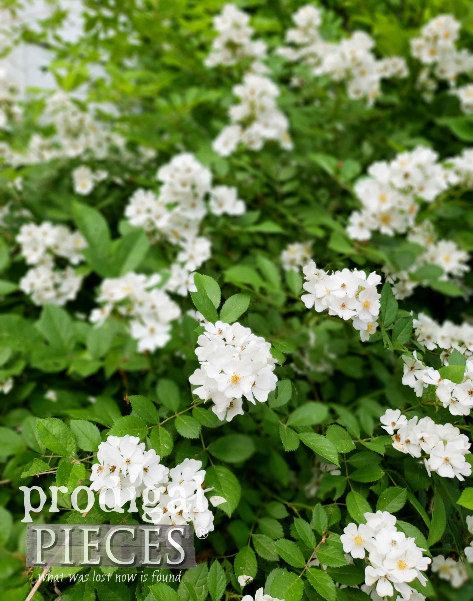 Wild White Rose Bush with Tiny Beautiful Blooms by Larissa of Prodigal Pieces | prodigalpieces.com