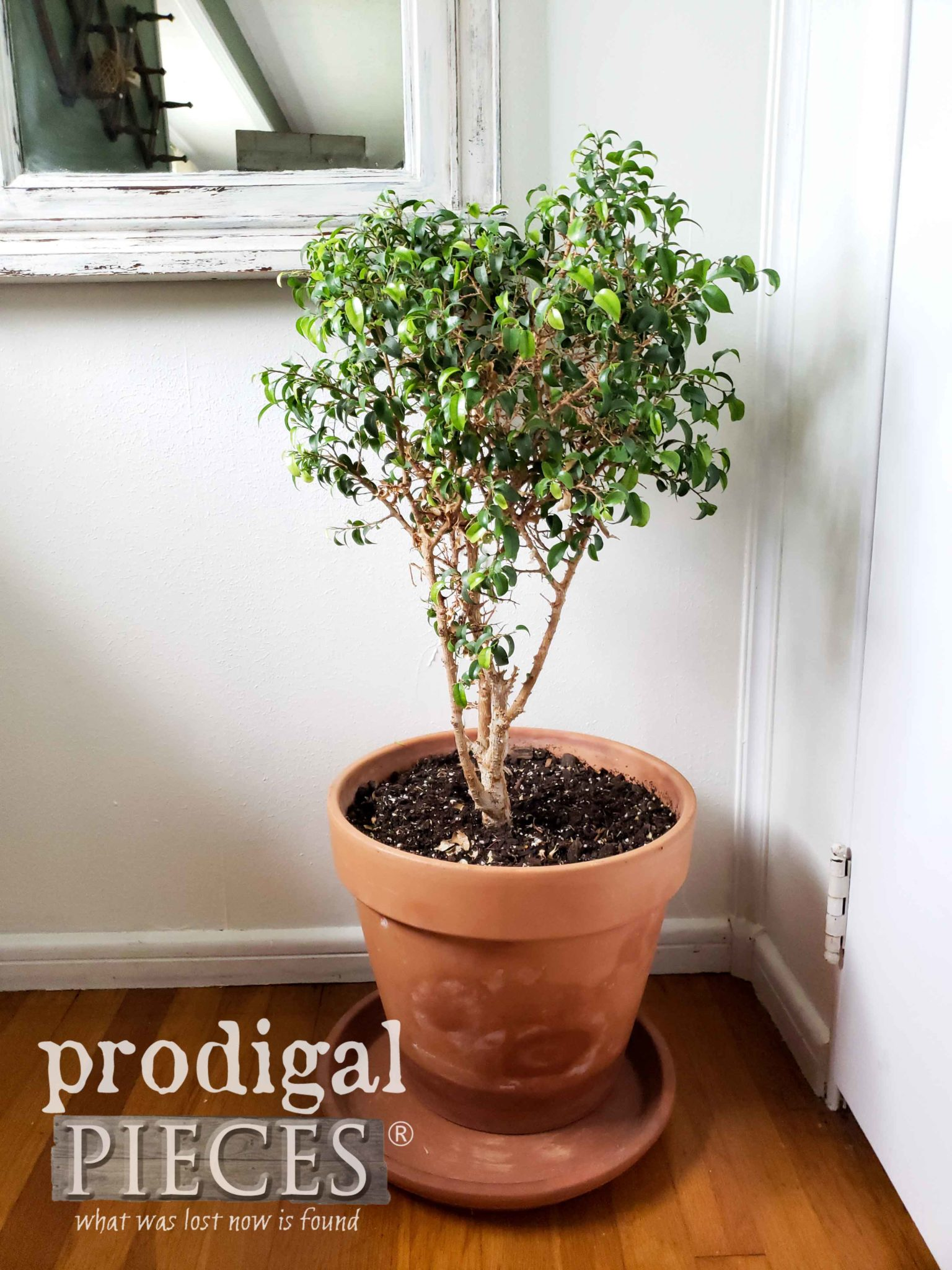 Potted Ficus Tree in Terra Cotta Pot by Prodigal Pieces | prodigalpieces.com