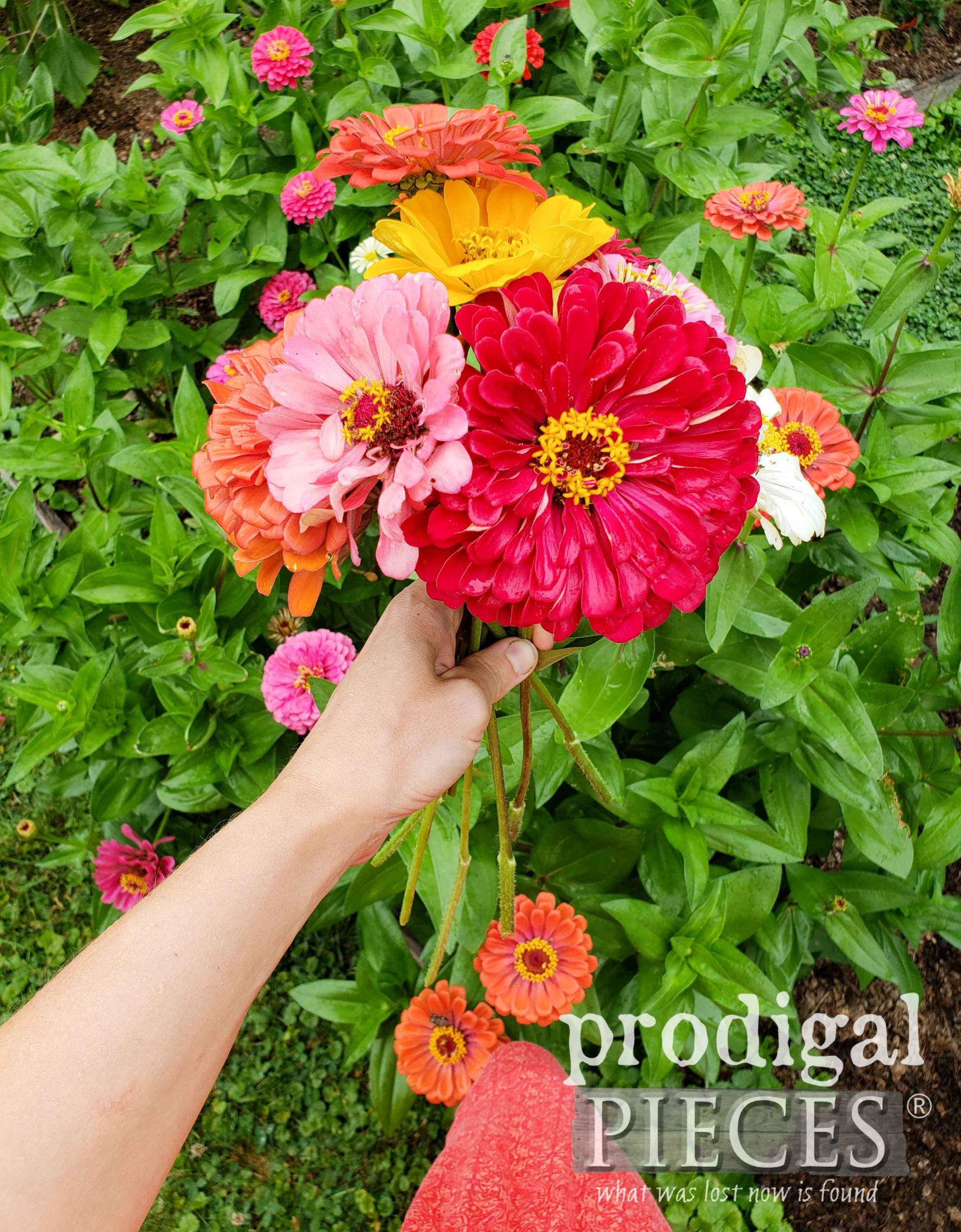 Fresh Bouquet of Hand-Picked Zinnias from the Garden of Larissa of Prodigal Pieces | prodigalpieces.com