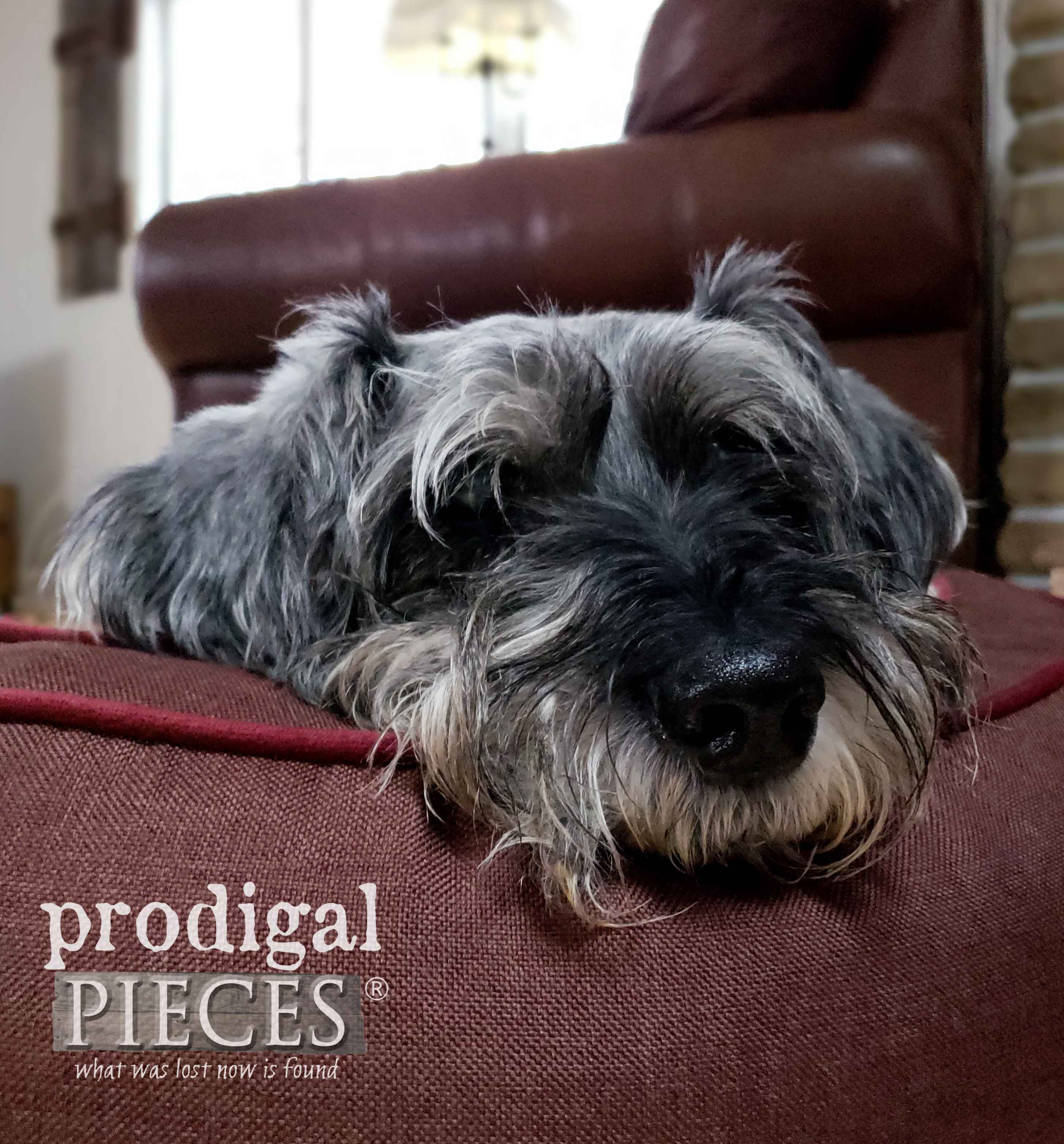 Miniature Schnauzer Comfy at Home | Prodigal Pieces supporting Habitat for Humanity #homeisthekey campaign | prodigalpieces.com #prodigalpieces #home #dogs