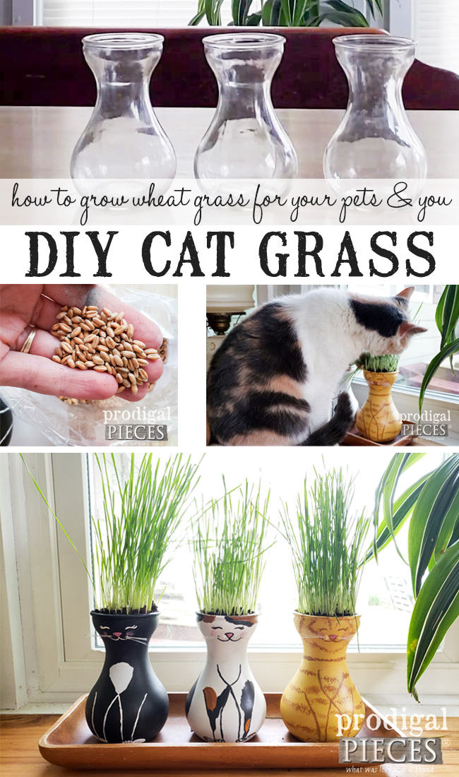 How to Grow Cat Grass (aka. Wheat Grass) for your Cats, Dogs, and YOU. Video tutorial by Larissa of Prodigal Pieces | prodigalpieces.com #prodigalpieces #diy #pets #cats #dogs #food #health #home #homedecor
