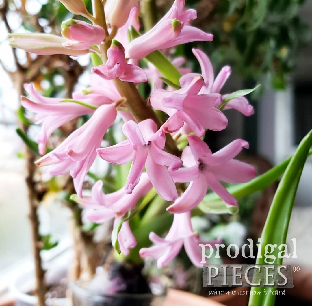 Forcing Pink Hyacinths | prodigalpieces.com