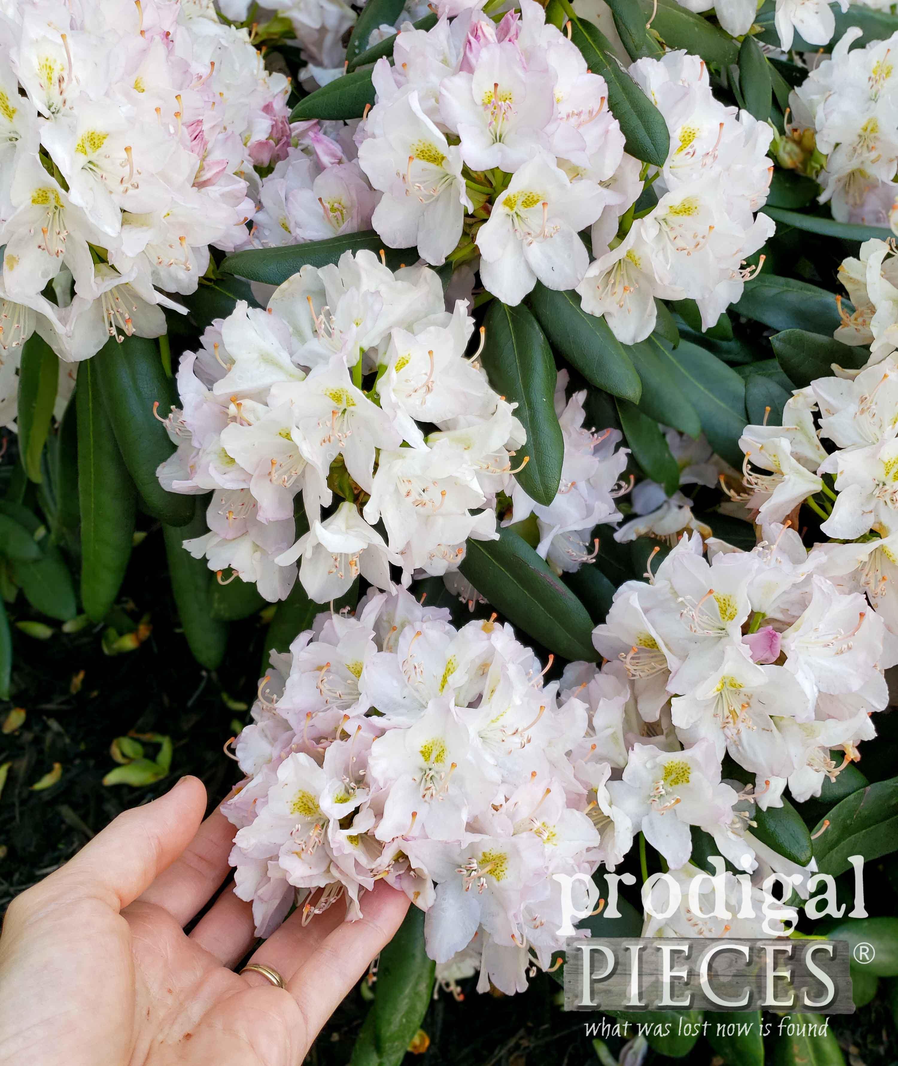 Gorgeous White Rhododendron | prodigalpieces.com