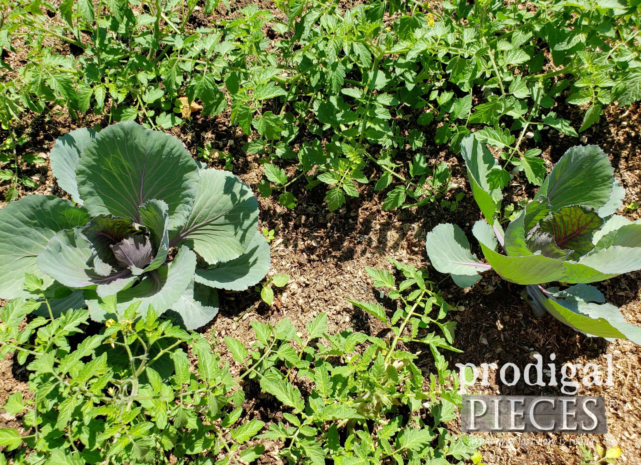 Red Cabbage Companion Planted with Tomatoes & Basil | prodigalpieces.com #prodigalpieces #diy #garden