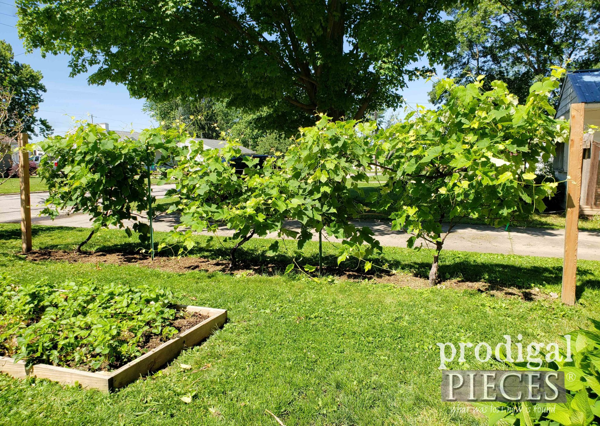 DIY Grape Arbor Using the Espalier Trellis Technique | prodigalpieces.com #prodigalpieces #diy #garden #food