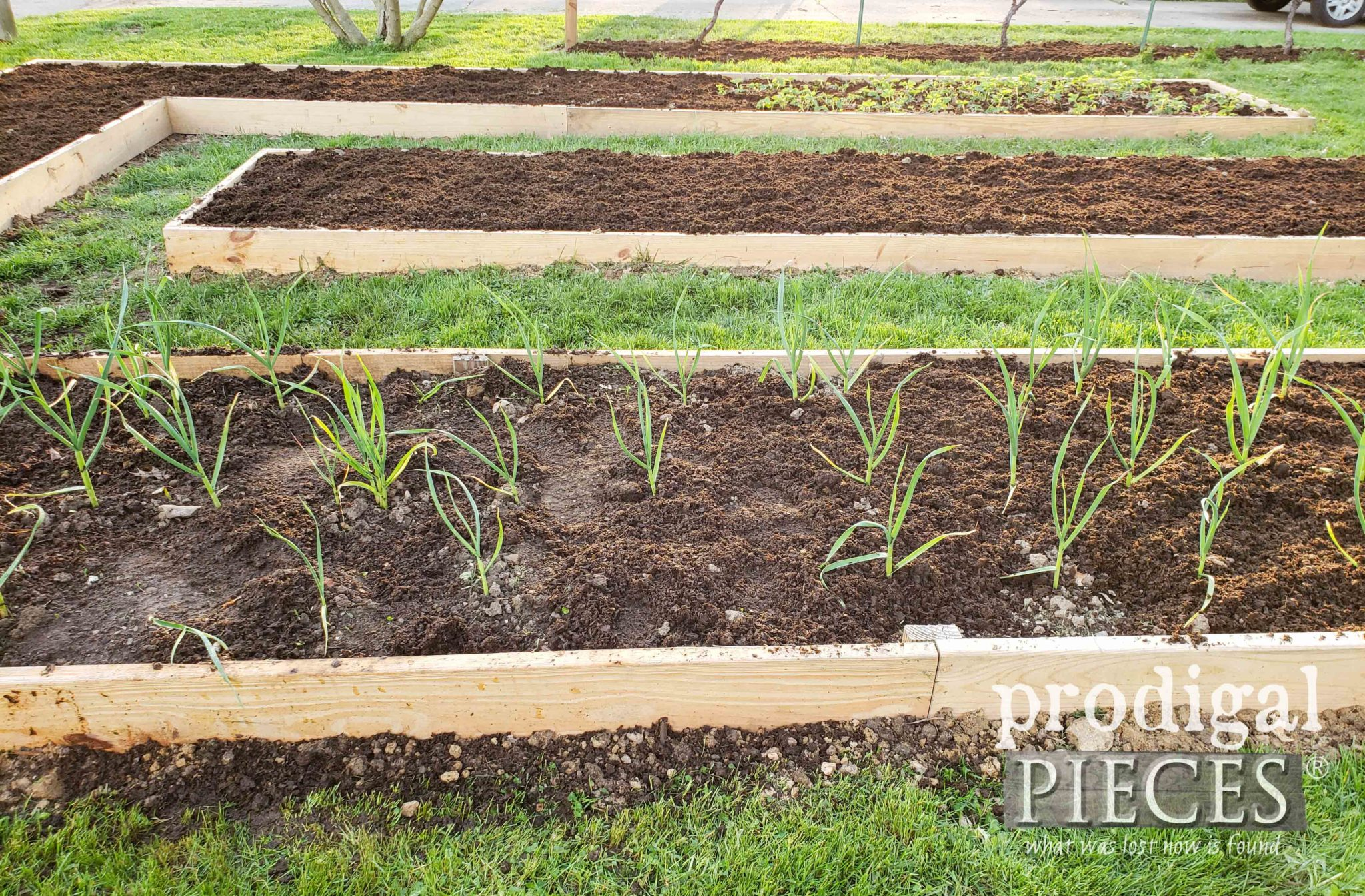 Garlic Planted in the Fall can be Harvested by Spring | prodigalpieces.com #prodigalpieces #food #garden