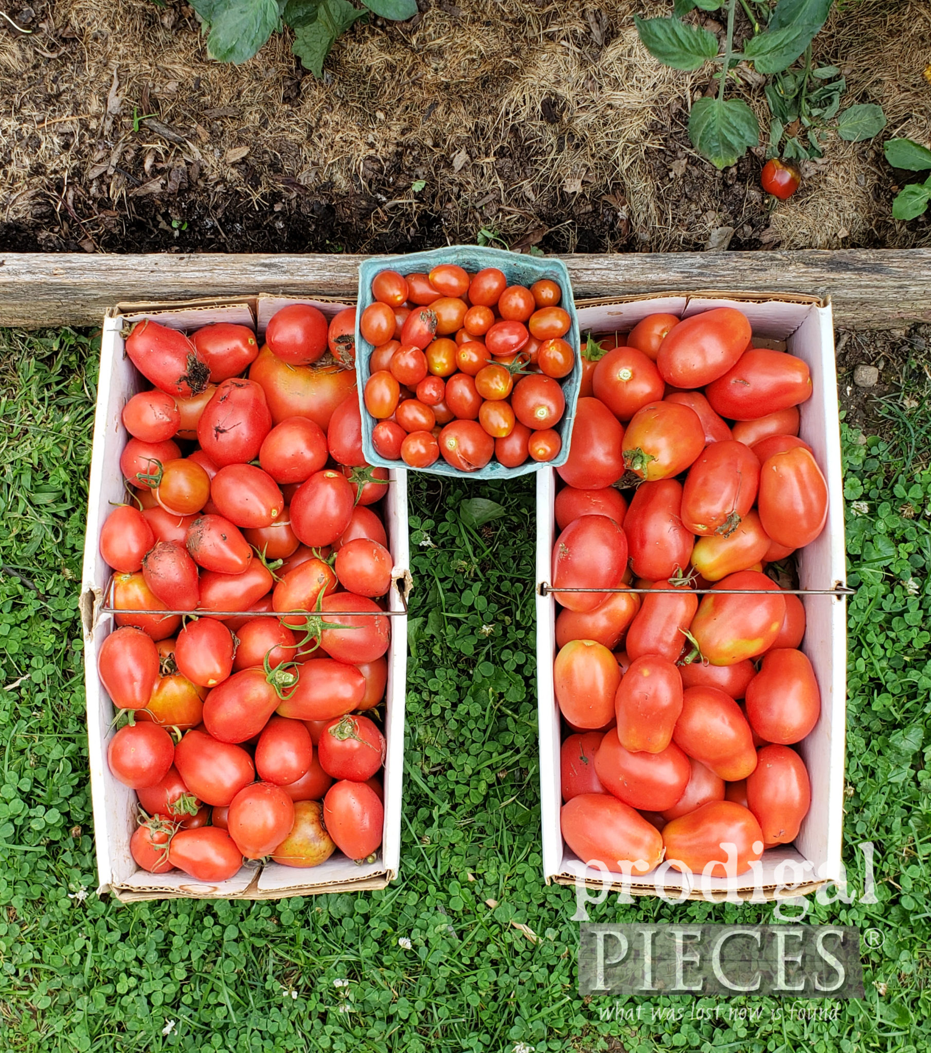 Garden Fresh Tomatoes Picked from Raised Garden Beds in a City Lot | prodigalpieces.com #prodigalpieces
