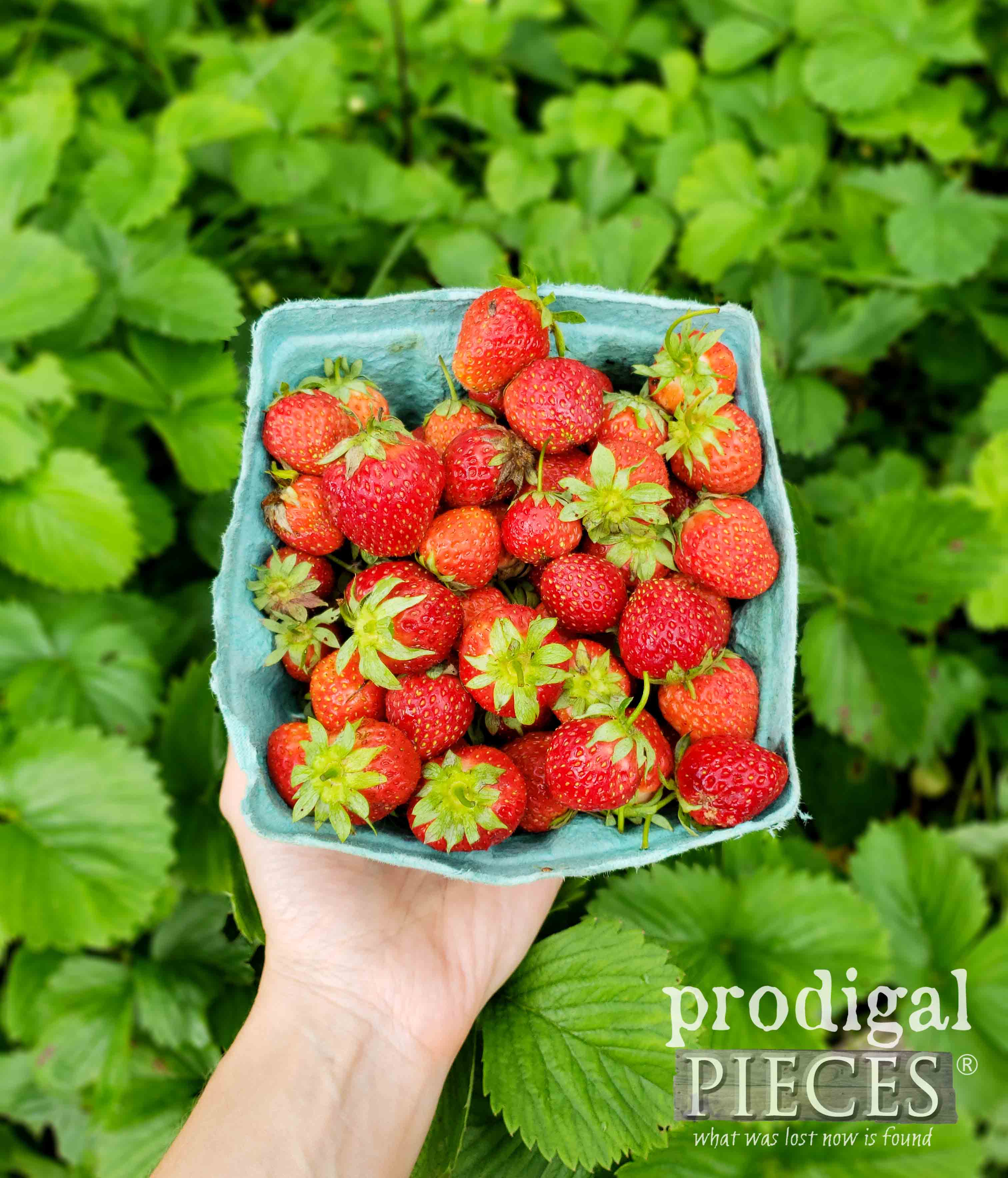 Homegrown Organic Strawberries are the best! | prodigalpieces.com #prodigalpieces #garden #food