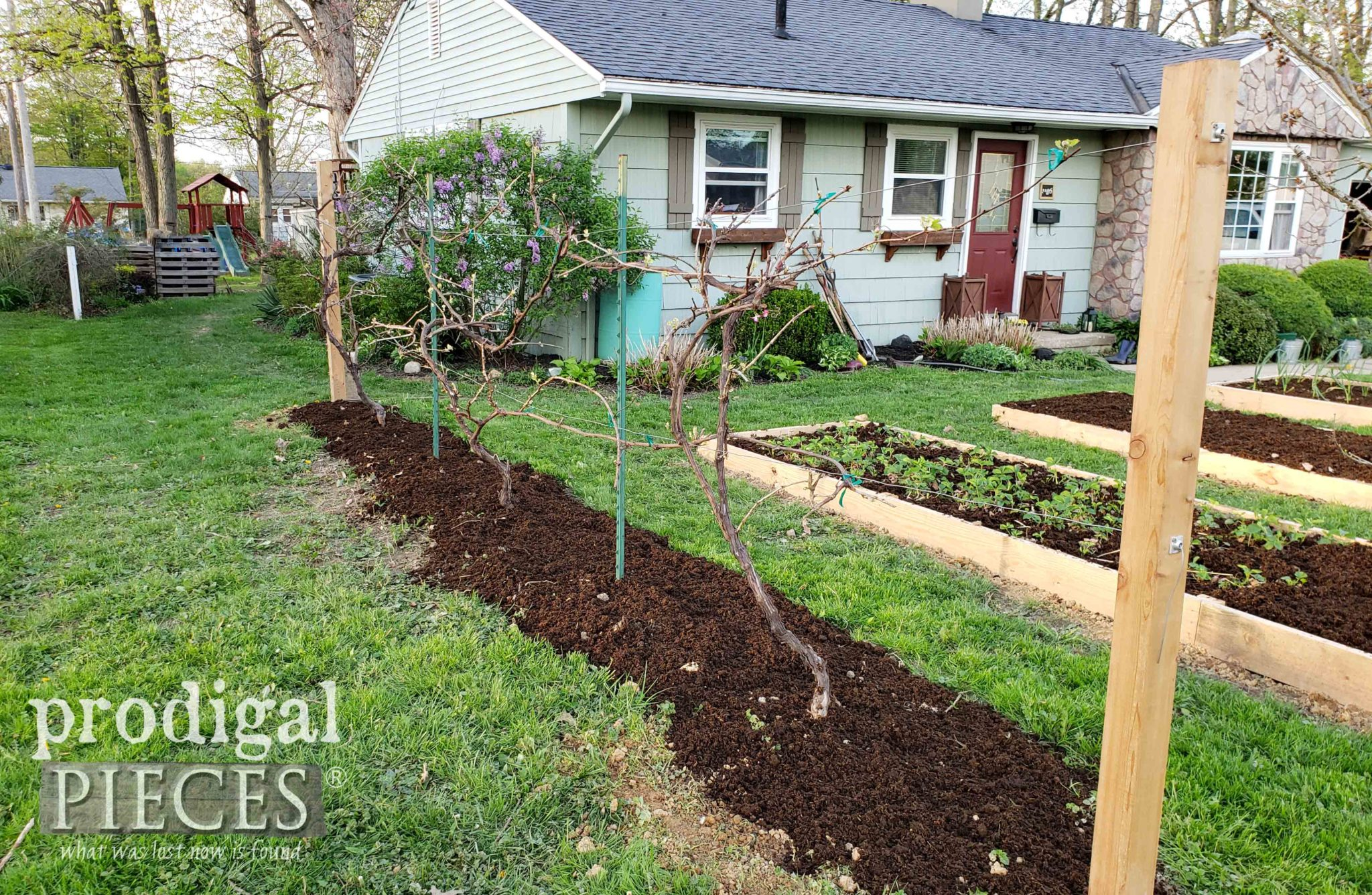 DIY Grape Arbor using espalier trellis method | prodigalpieces.com #prodigalpieces #garden