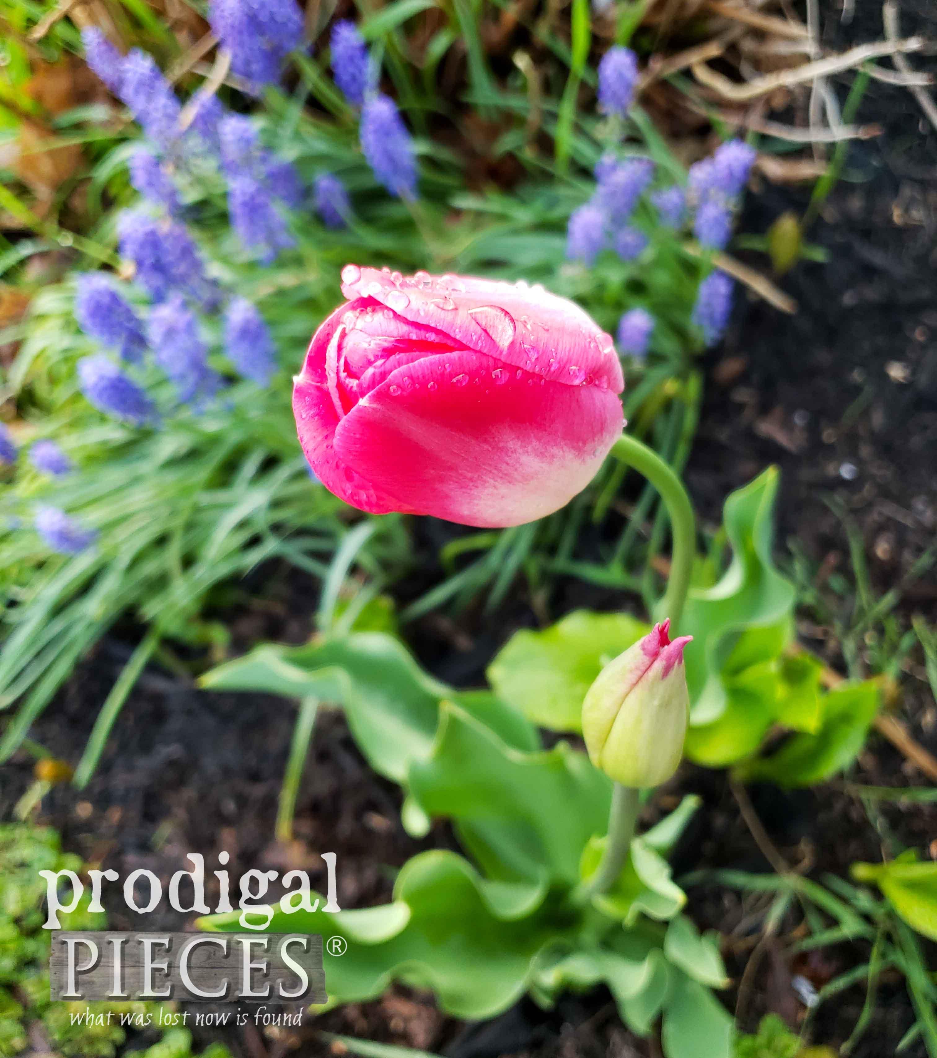 Pink Tulip in Garden Bed | prodigalpieces.com #prodigalpieces #flower #pink