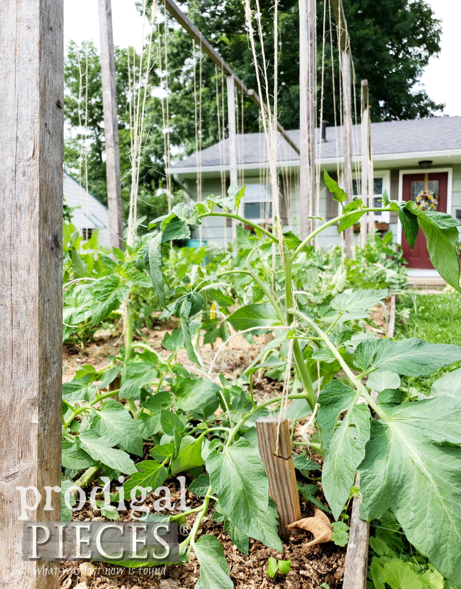 How to Trellis Your Tomatoes | prodigalpieces.com #prodigalpieces #garden #home