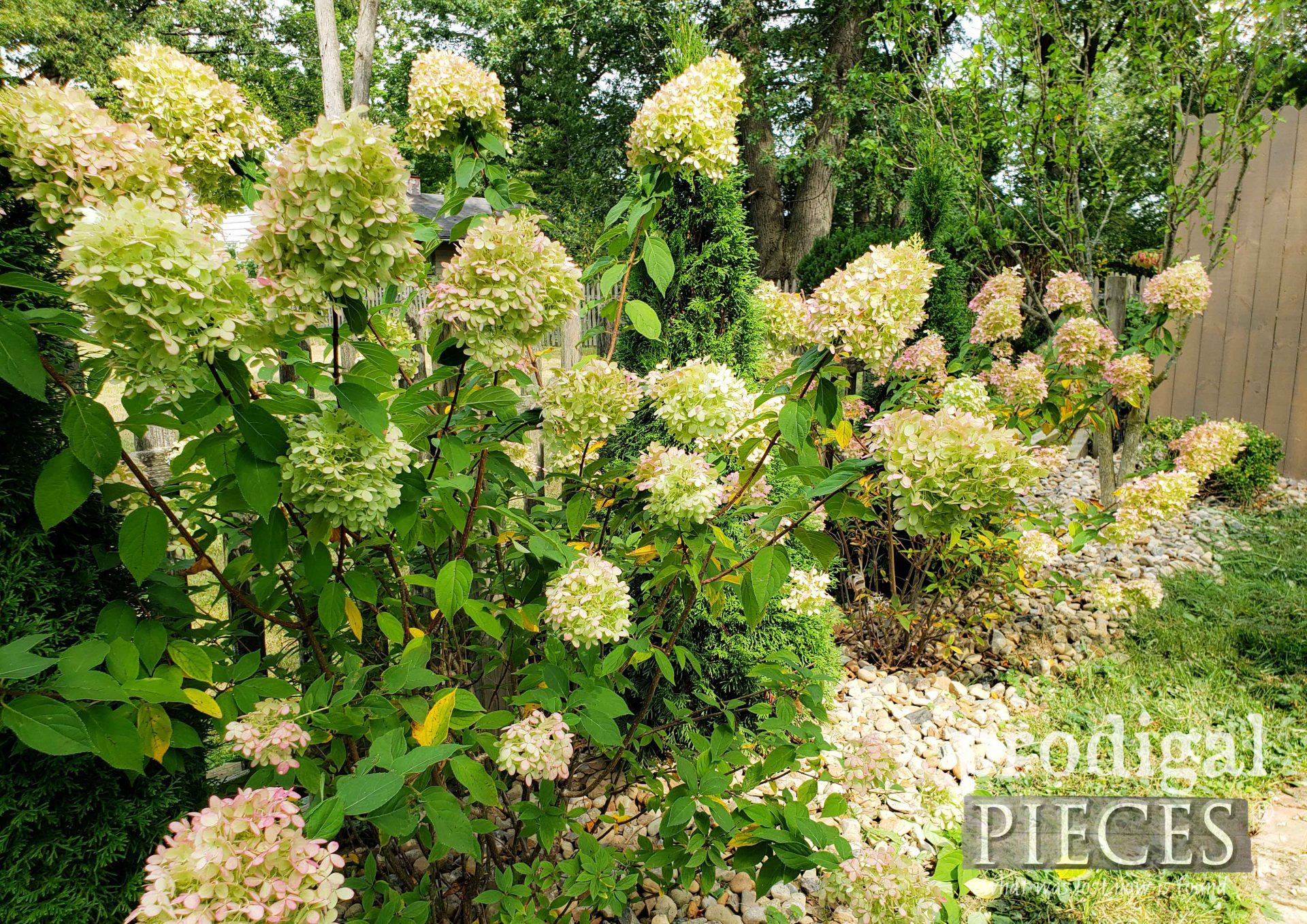 Limelight Hydrangeas in Bloom for Fall Decor | prodigalpieces.com