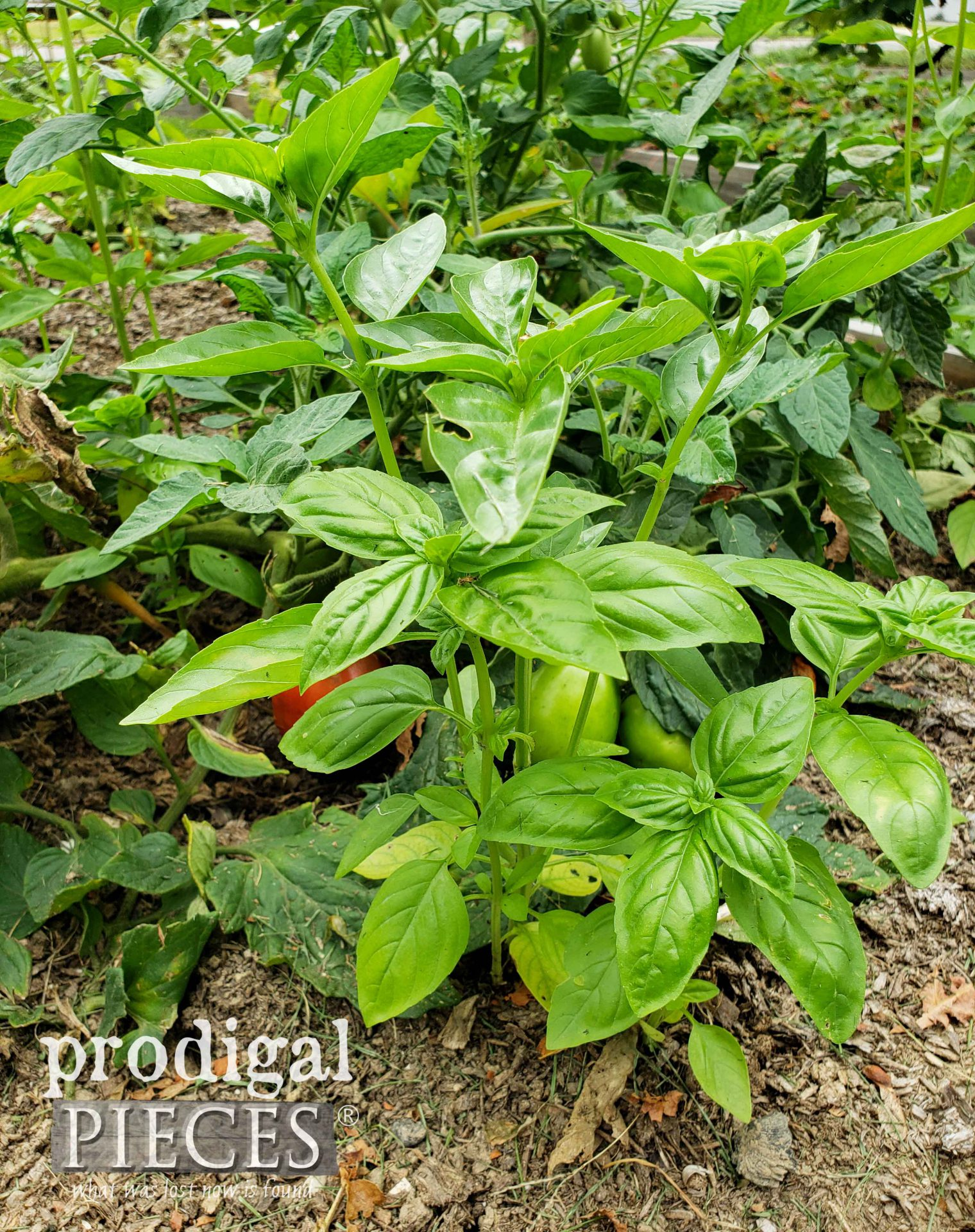 Garden Sweet Basil by Larissa of Prodigal Pieces | prodigalpieces.com #prodigalpieces #basil #garden #homeschool
