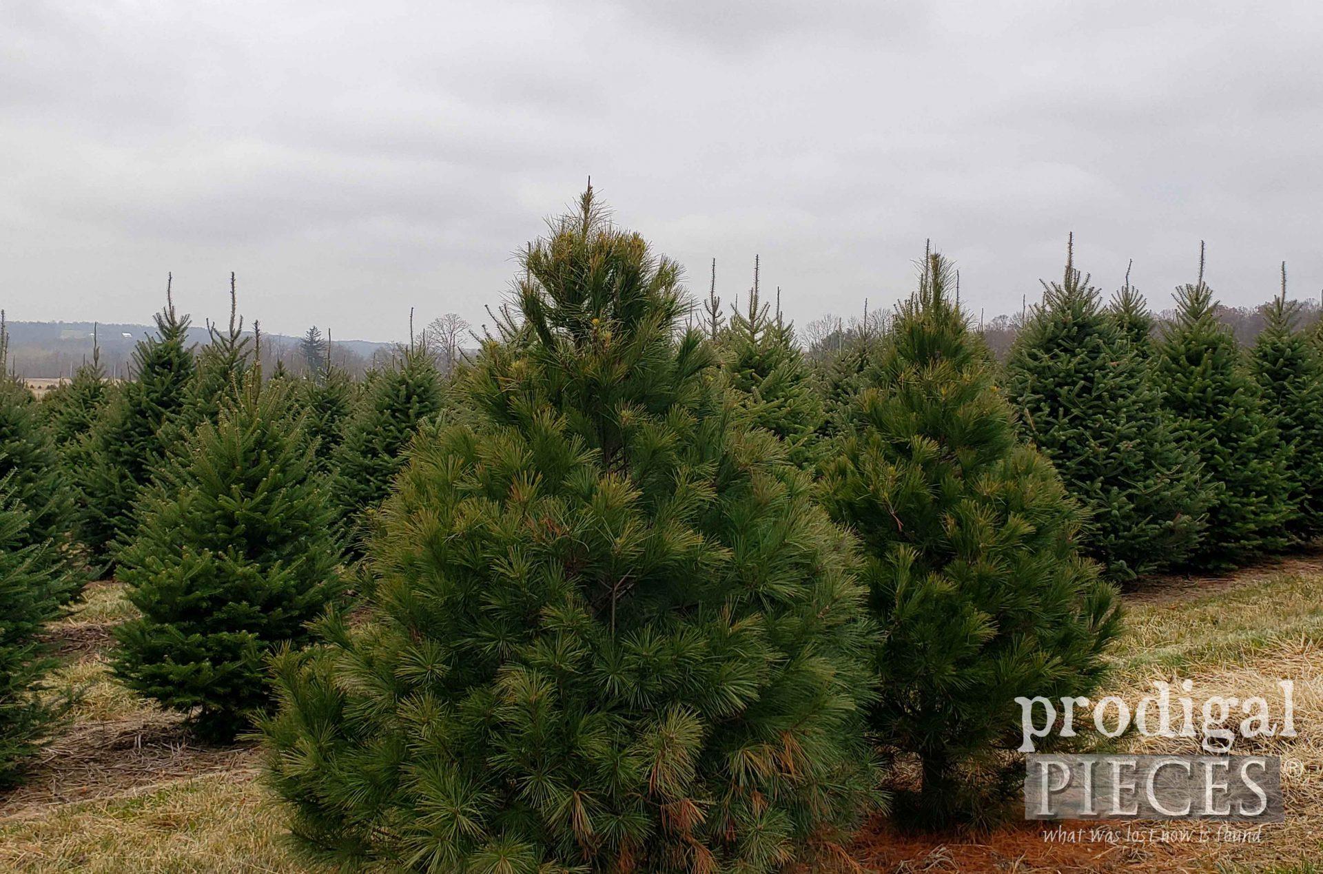 Christmas Tree Farm | prodigalpieces.com