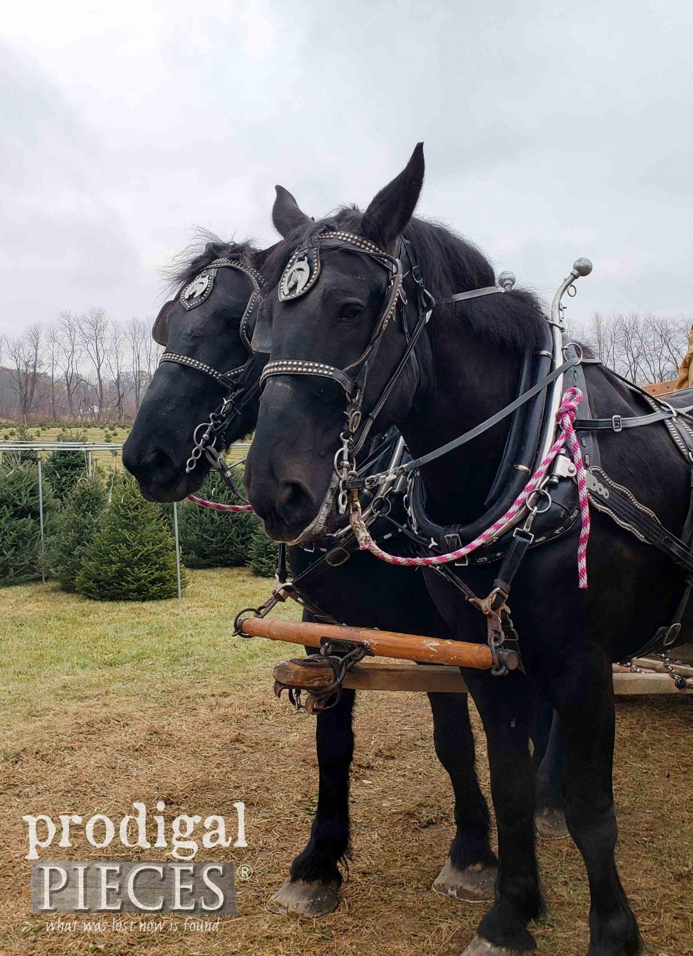 Pair of Percheron Horses Pulling Christmas Tree Sleigh | prodigalpieces.com