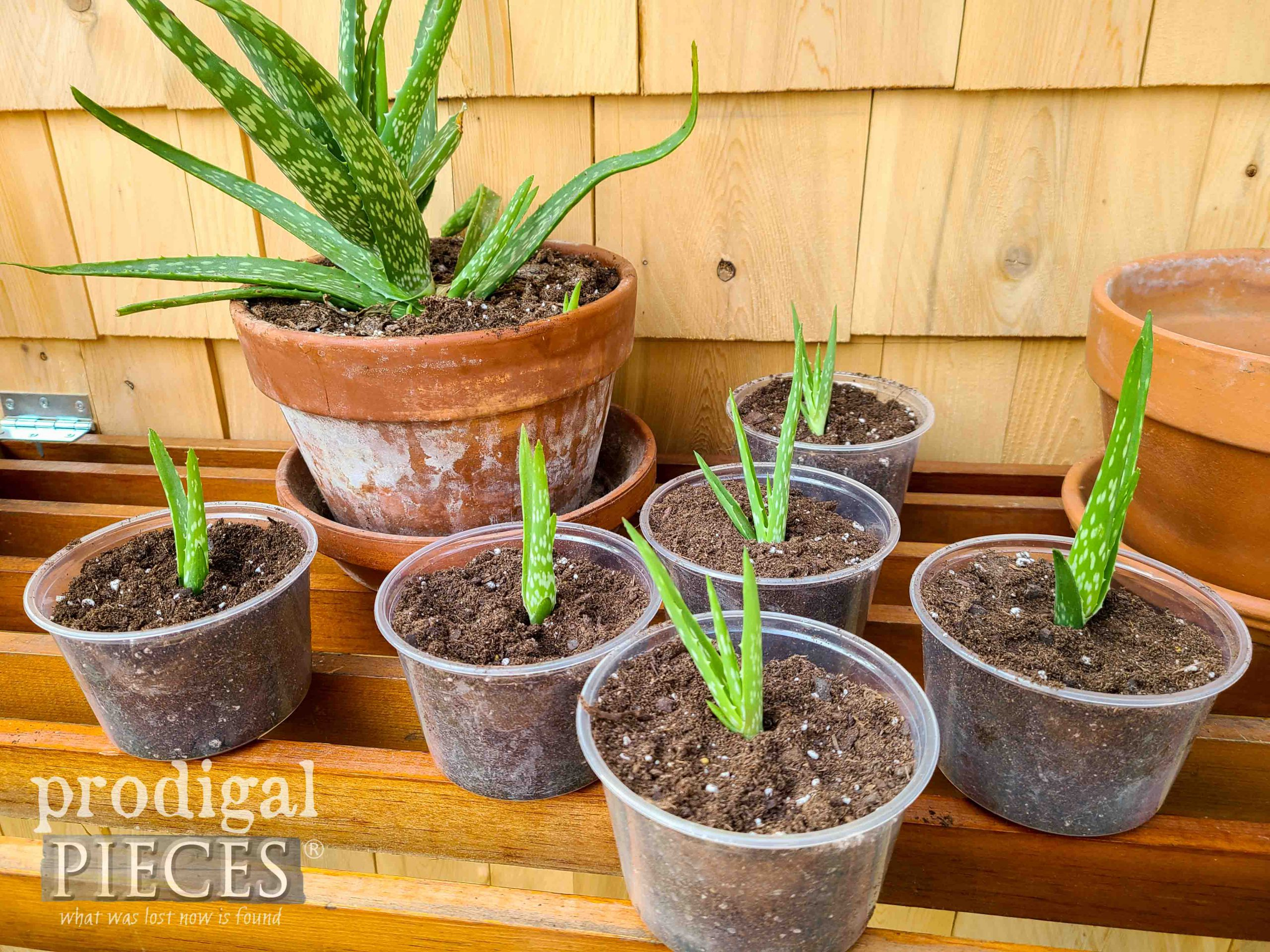 Aloe Starts Re-potted to Share by Larissa of Prodigal Pieces | prodigalpieces.com #prodigalpieces #garden #diy #gardening #succulents