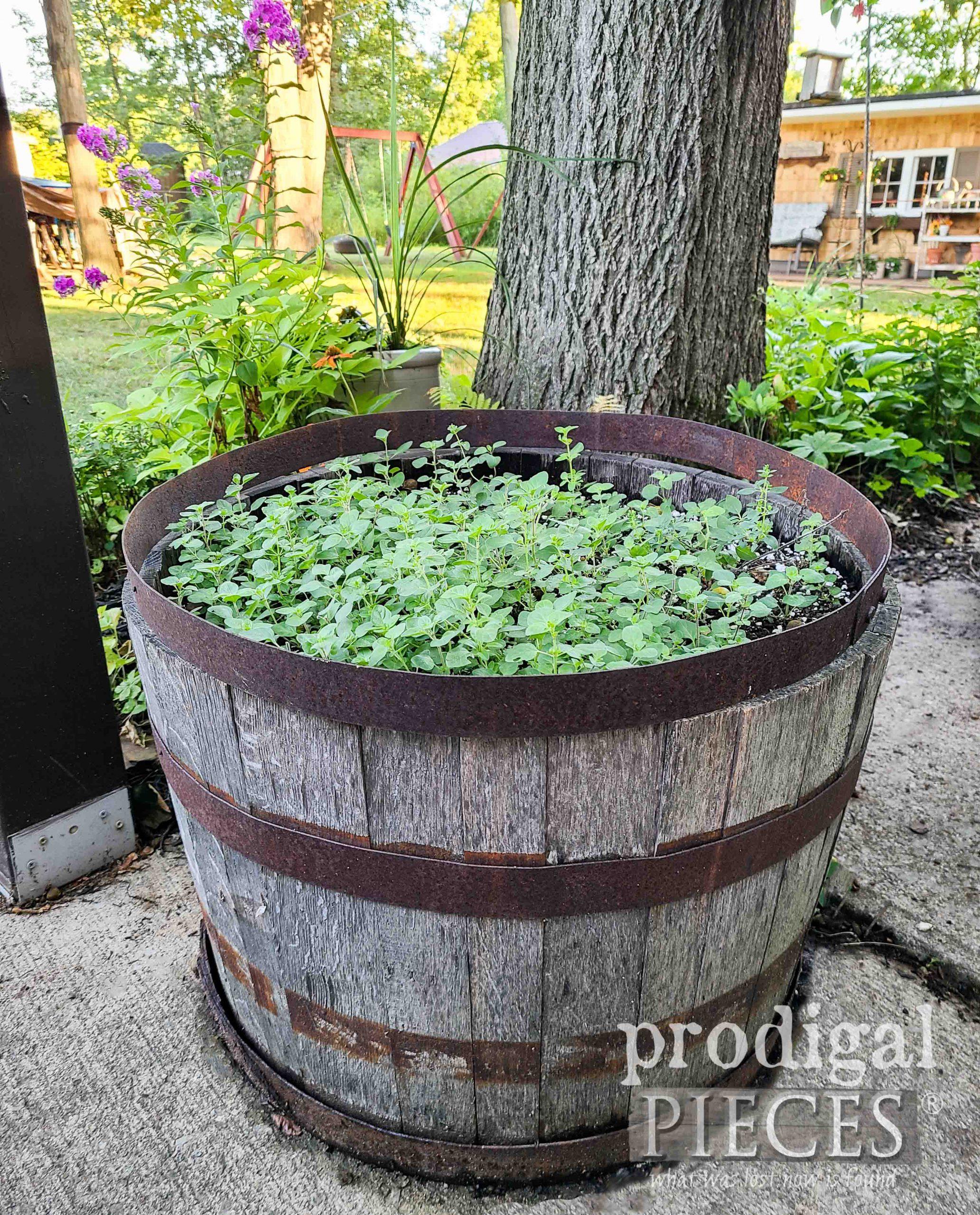 Whiskey Planter Full of Oregano   prodigalpieces.com #prodigalpieces #garden #gardening #herbs