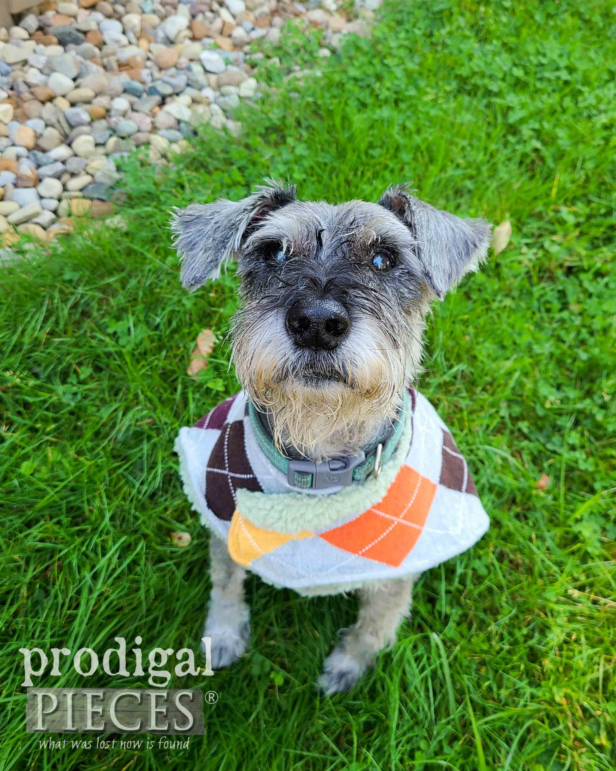 Cute Senior Miniature Schnauzer in DIY Dog Coat by Larissa of Prodigal Pieces | prodigalpieces.com #prodigalpieces #sewing #dogs #pets #handmade #upcycled #gift