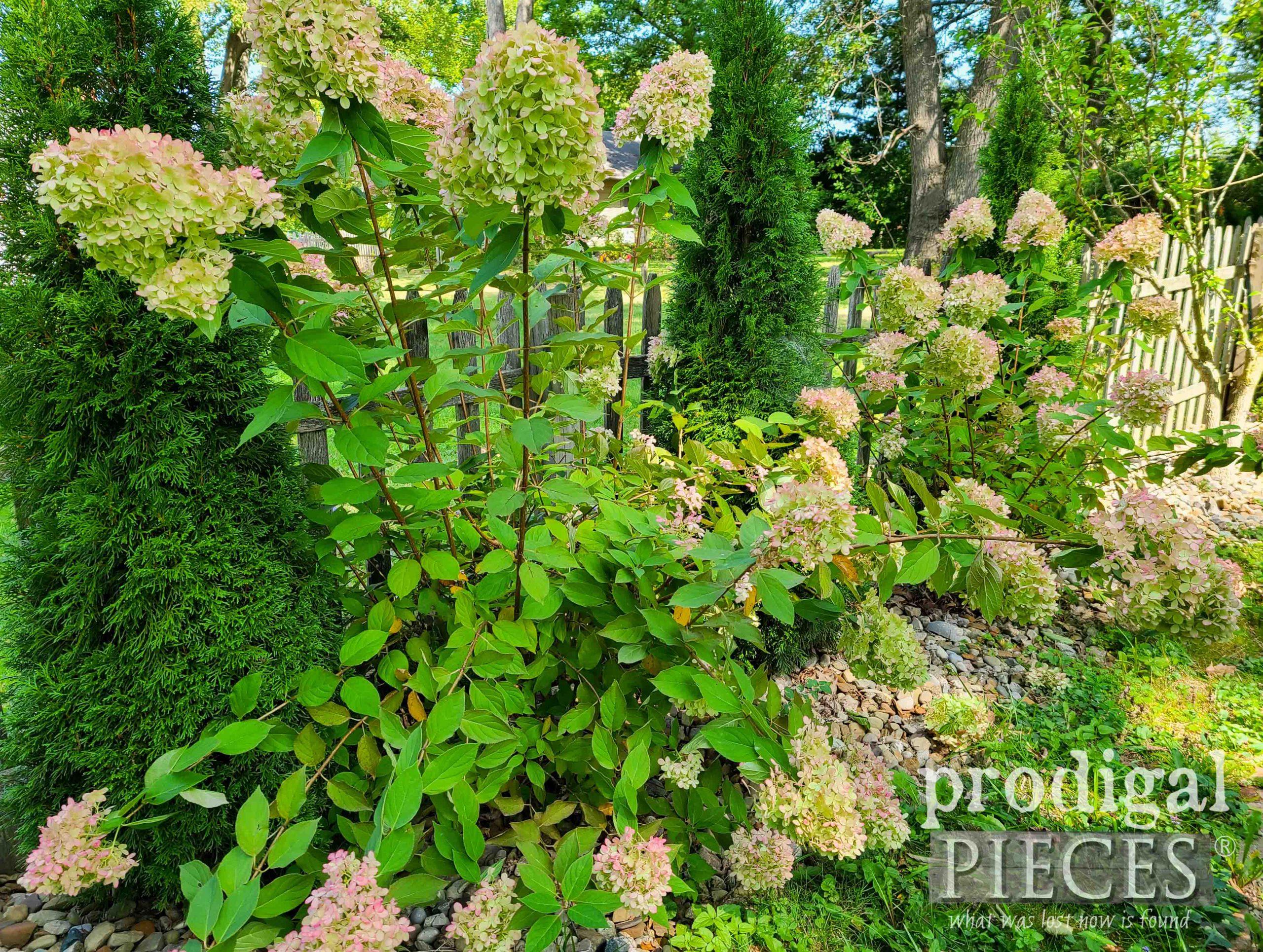 Limelight Hydrangeas in Autumn | prodigalpieces.com #prodigalpieces