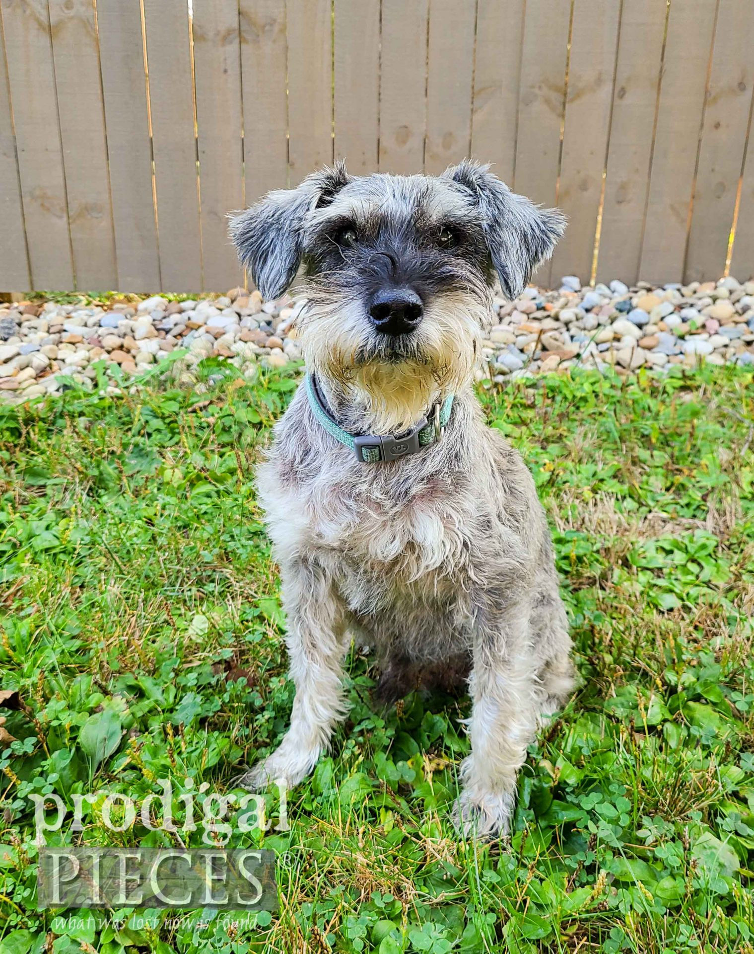 Teddy, Prodigal Pieces Miniature Schnauzer | prodigalpieces.com