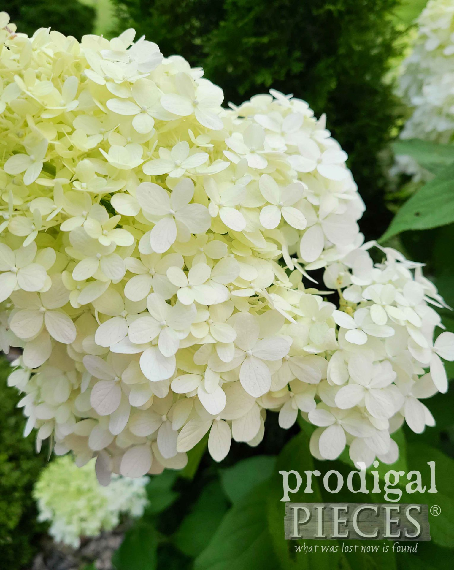 Snowy White Limelight Flowers | by Prodigal Pieces | prodigalpieces.com #prodigalpieces