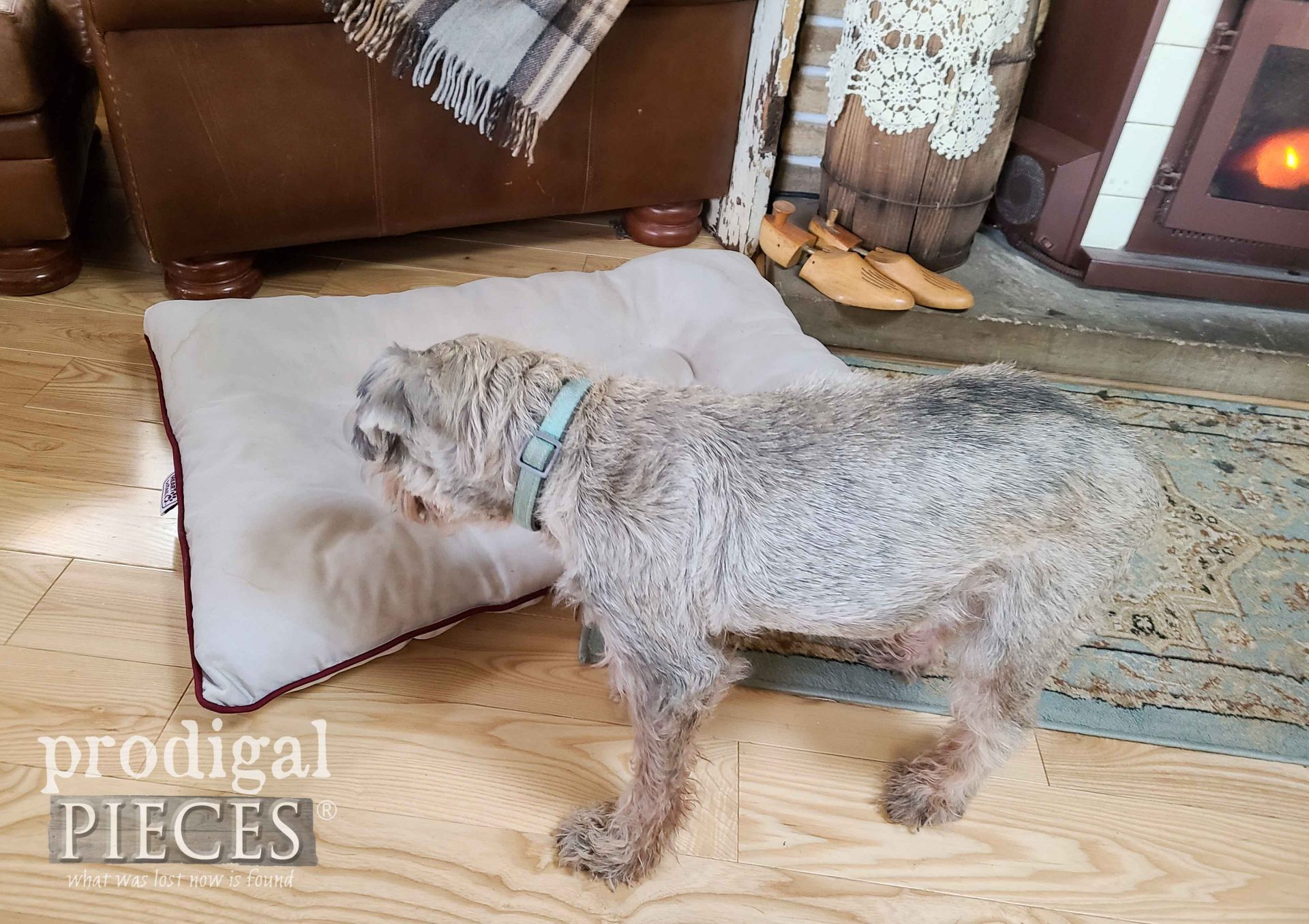 Miniature Schnauzer Pet Bed is Clean! By Prodigal Pieces | prodigalpieces.com #prodigalpieces #pets #animals