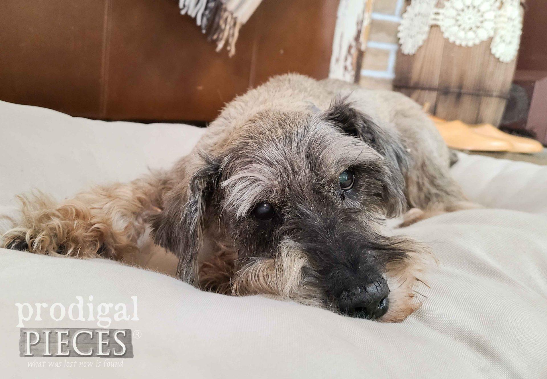 Senior Dog Miniature Schnauzer on Bed | Prodigal Pieces | prodigalpieces.com #prodigalpieces