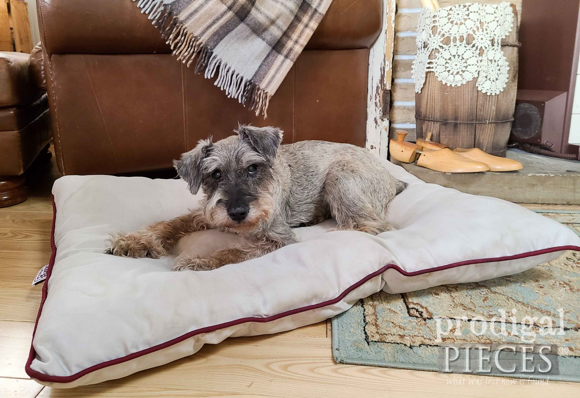 Teddy, a Miniature Schnauzer on Pet Bed | Prodigal Pieces | prodigalpieces.com #prodigalpieces #pets #dog #cats