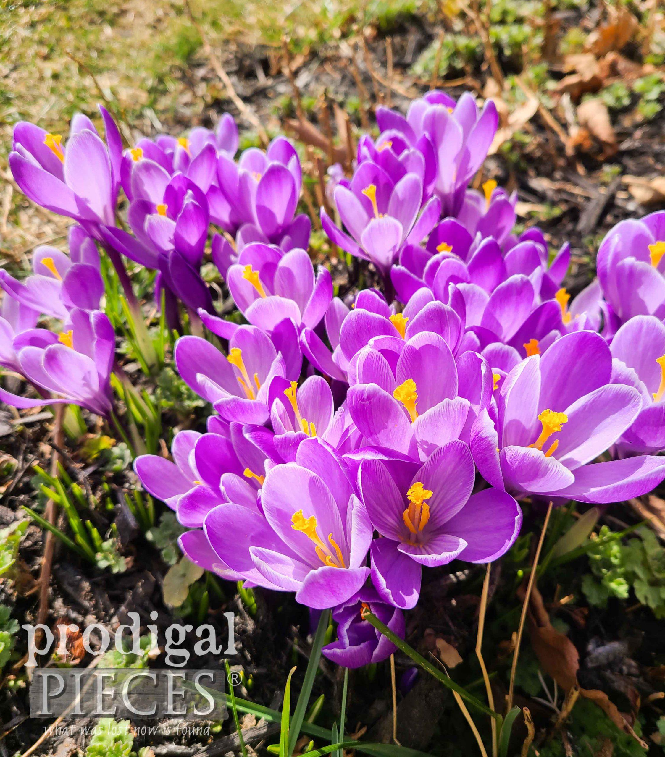 Beautiful Purple Crocus Open for the Sun | prodigalpieces.com #prodigalpieces
