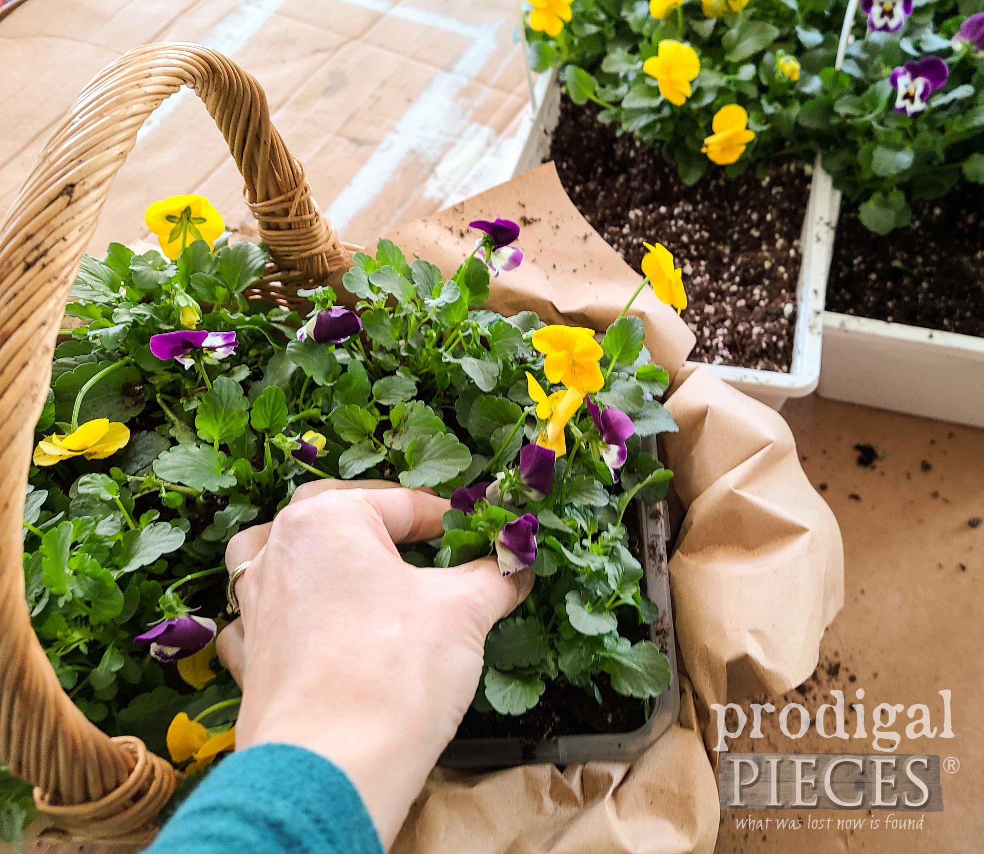 Planting Violas in Centerpiece by Larissa of Prodigal Pieces | prodigalpieces.com #prodigalpieces