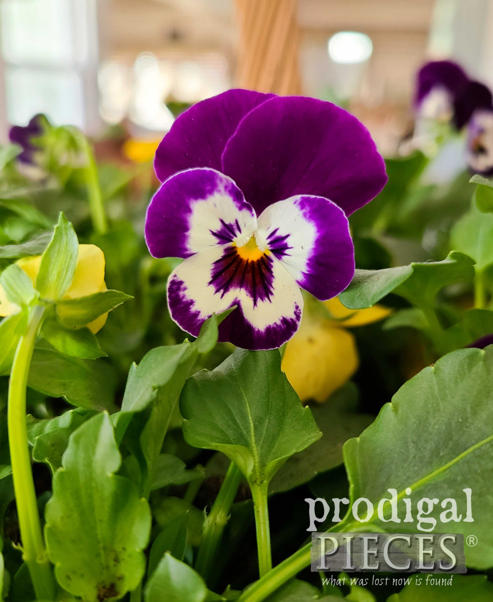 Purple Viola Face Smiling | prodigalpieces.com #prodigalpieces #flower #spring #viola