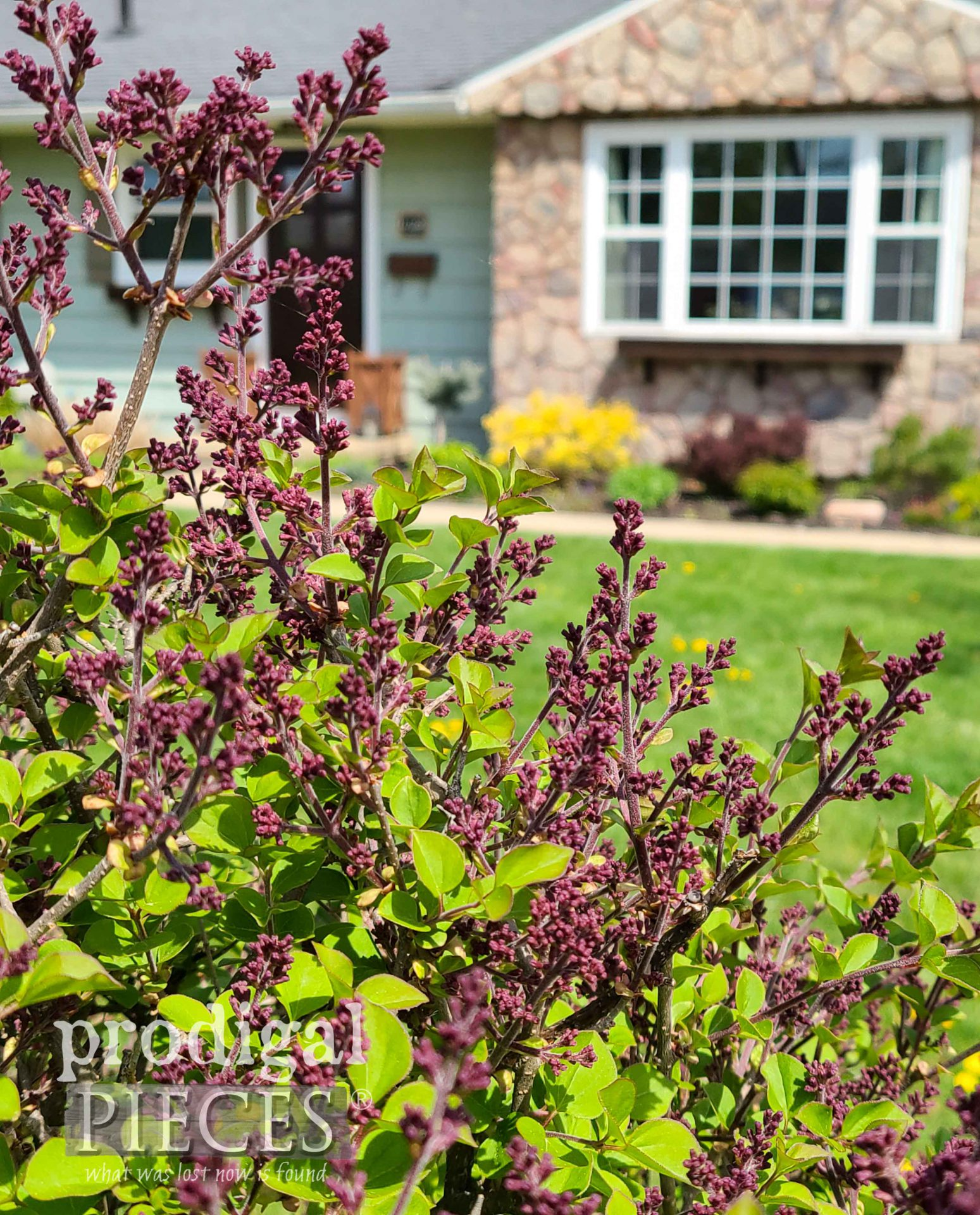 Oriental Lilac Bush Waiting to Bloom | Waiting on the Lord by Prodigal Pieces | prodigalpieces.com #prodigalpieces #lilac #flowers #gardening