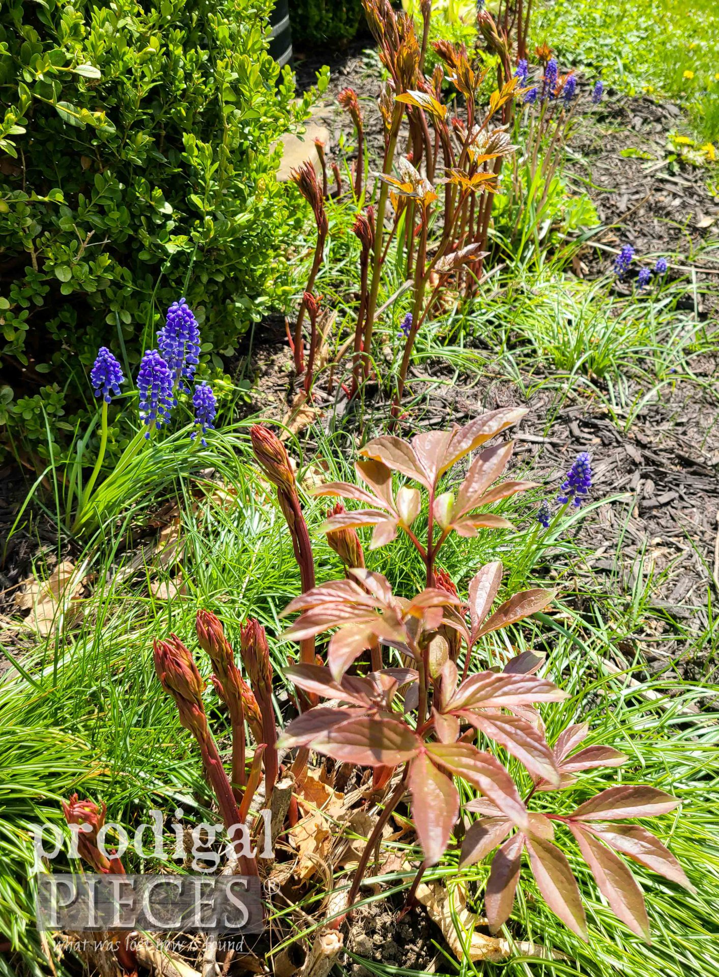 Pink Peony Sprouts with Grape Hyacinths by Prodigal Pieces | prodigalpieces.com #prodigalpieces #gardening #flowers #spring