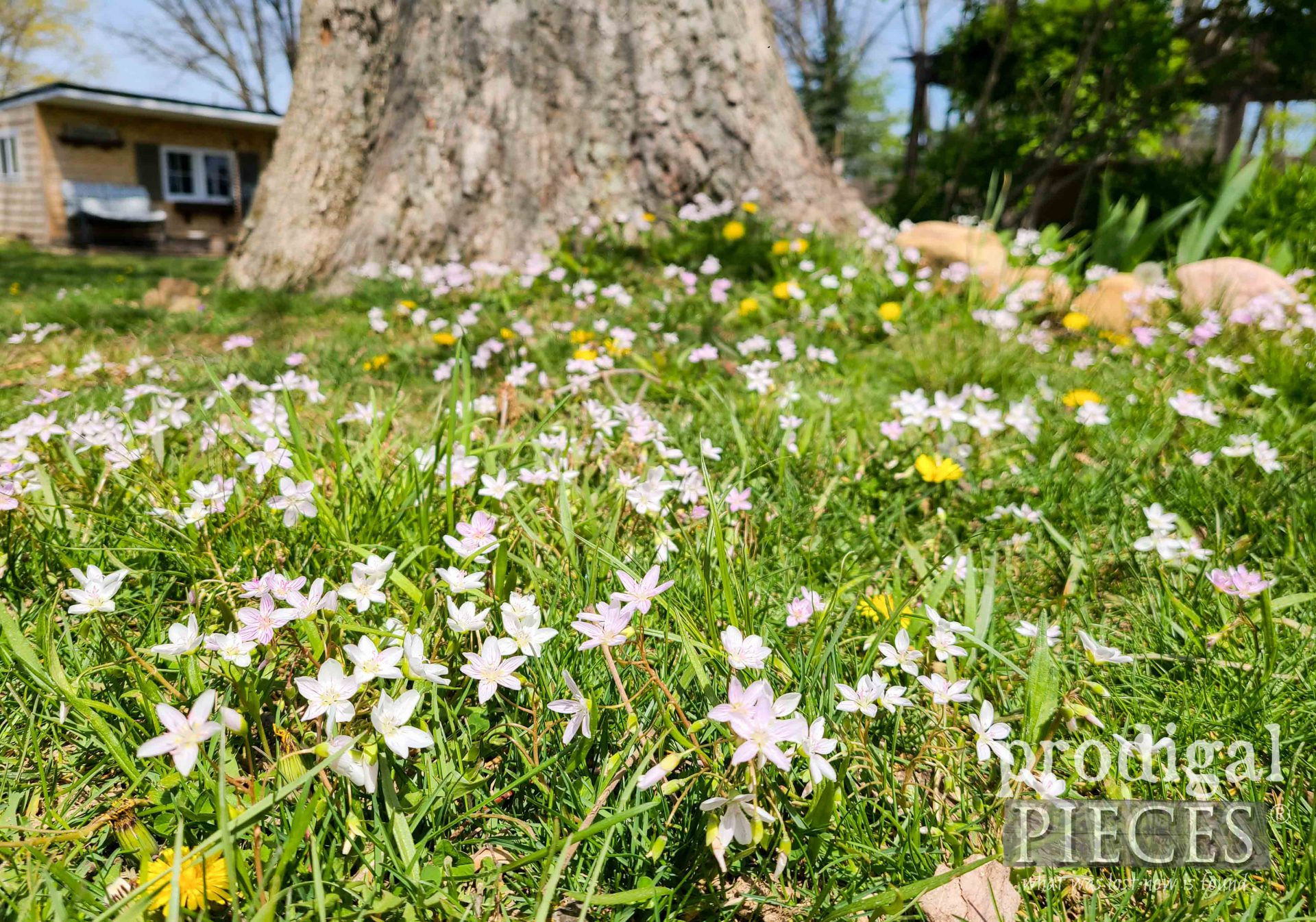 Spring Beauty Flower in the Grass by Prodigal Pieces | prodigalpieces.com #prodigalpieces #flowers
