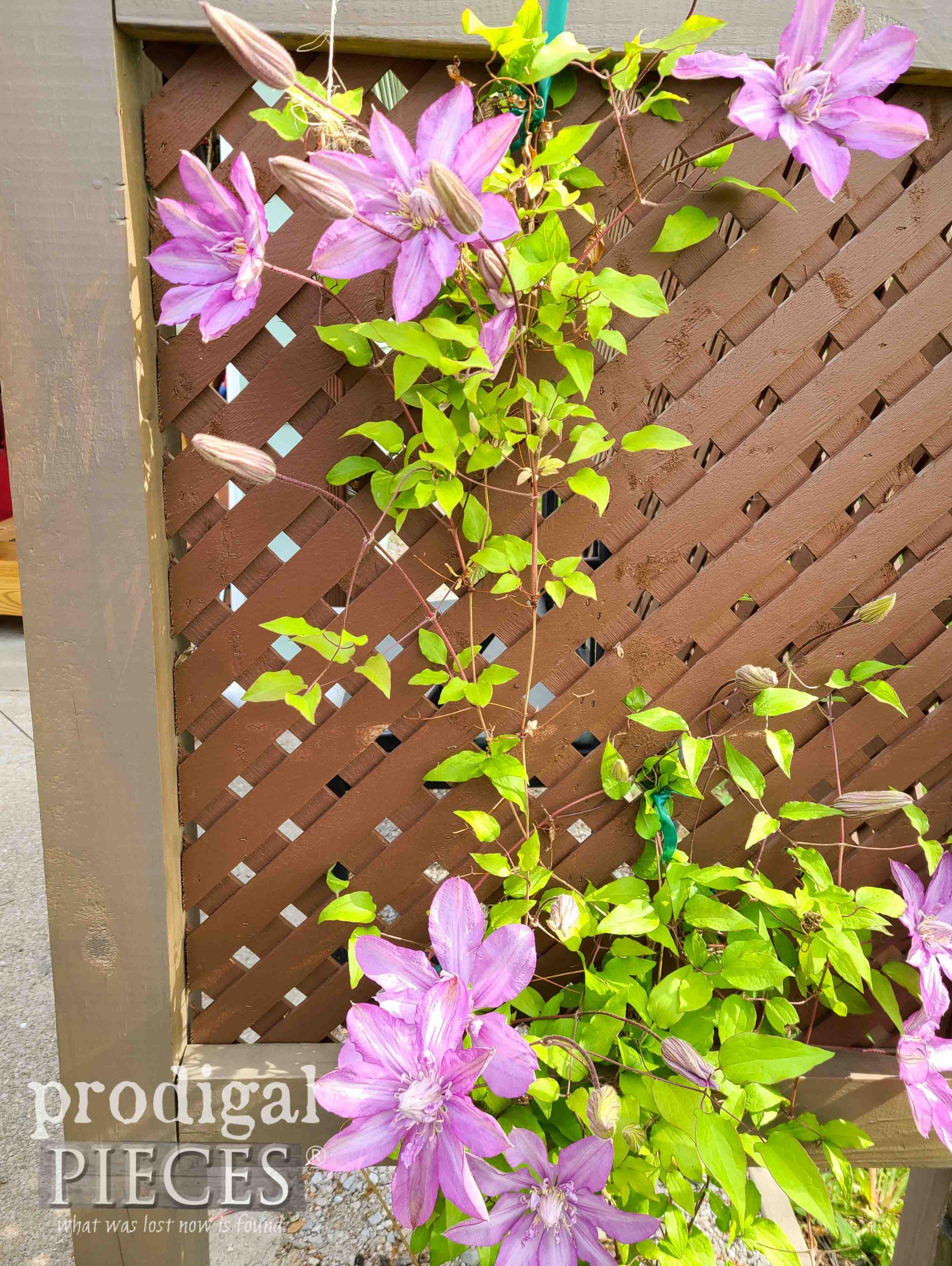 Purple Clematis on Arbor | prodigalpieces.com #prodigalpieces