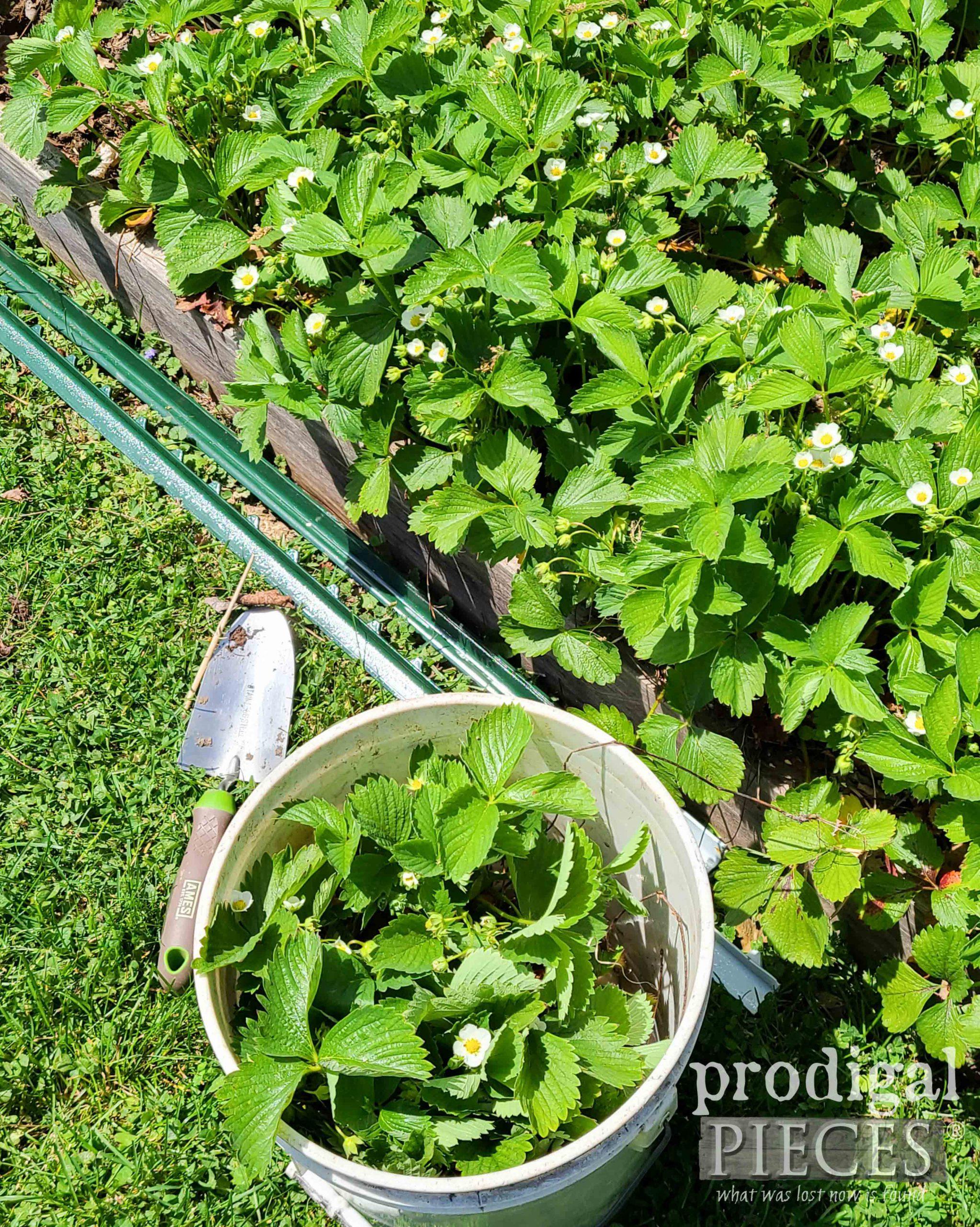Thinning Strawberries in Garden | prodigalpieces.com